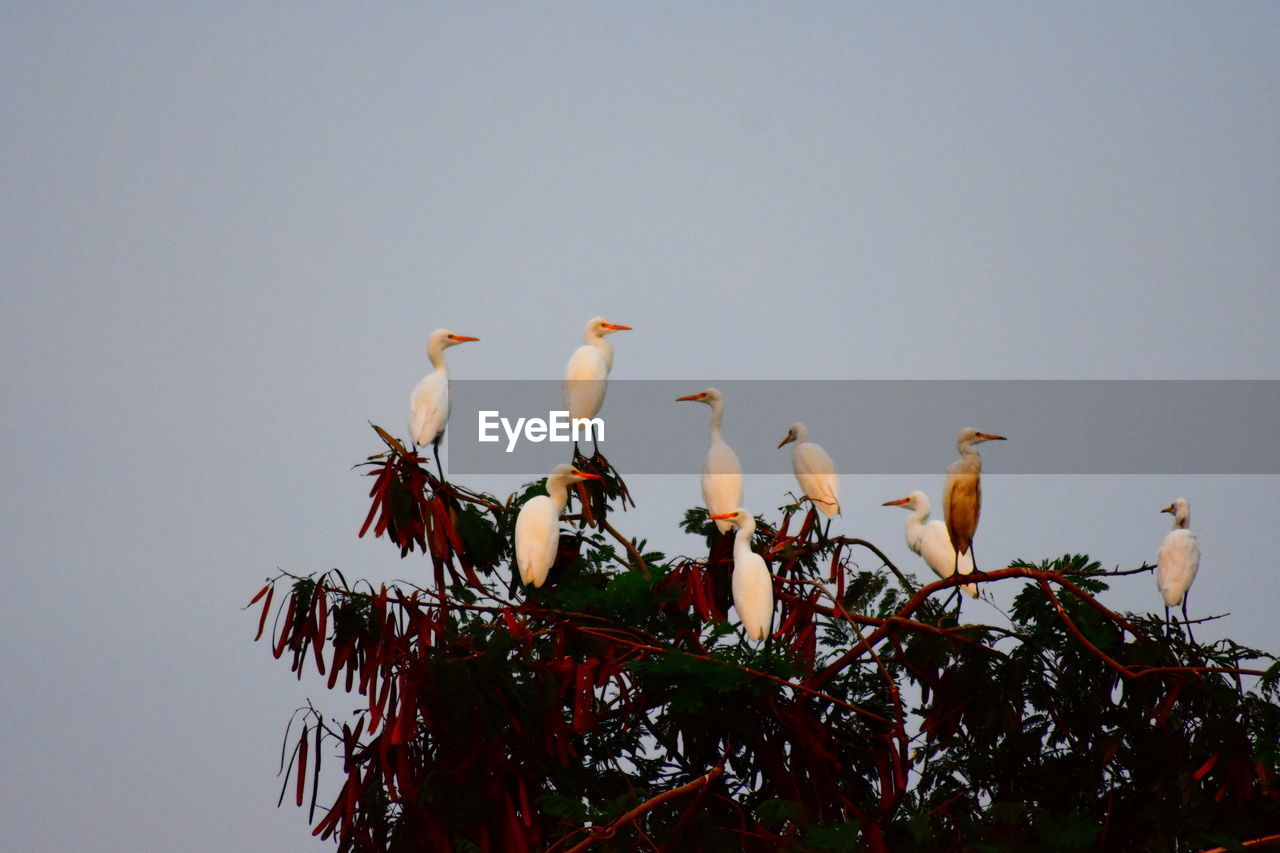 bird, animal themes, animals in the wild, animal, vertebrate, animal wildlife, group of animals, perching, sky, tree, no people, plant, low angle view, nature, clear sky, day, copy space, outdoors, branch, large group of animals, flock of birds