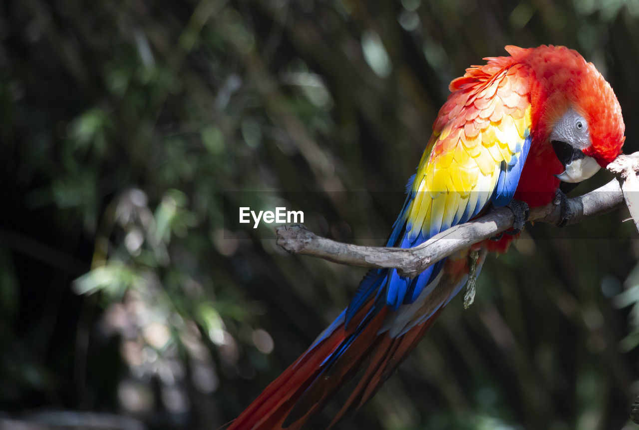 bird, animal themes, animal wildlife, vertebrate, one animal, animal, animals in the wild, parrot, focus on foreground, perching, tree, day, multi colored, branch, nature, no people, plant, macaw, close-up, outdoors, rainbow lorikeet