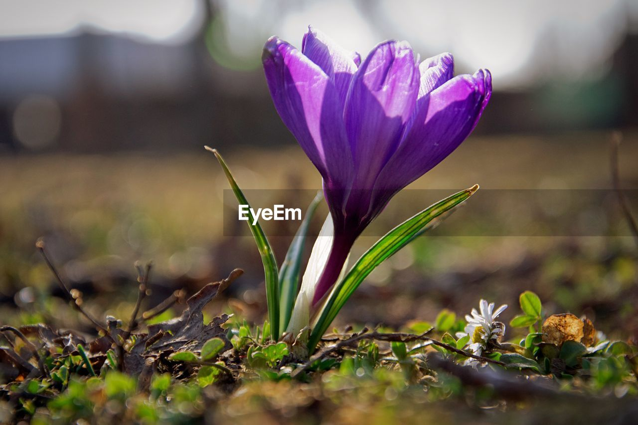 vulnerability, flower, flowering plant, fragility, plant, growth, freshness, beauty in nature, petal, close-up, selective focus, nature, flower head, crocus, inflorescence, no people, day, iris, outdoors, land, purple
