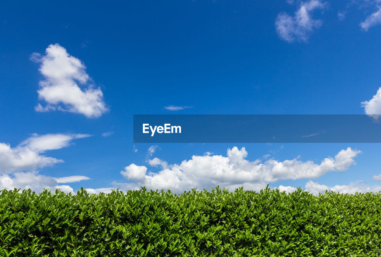 Close-Up Of Hedge Against Blue Sky