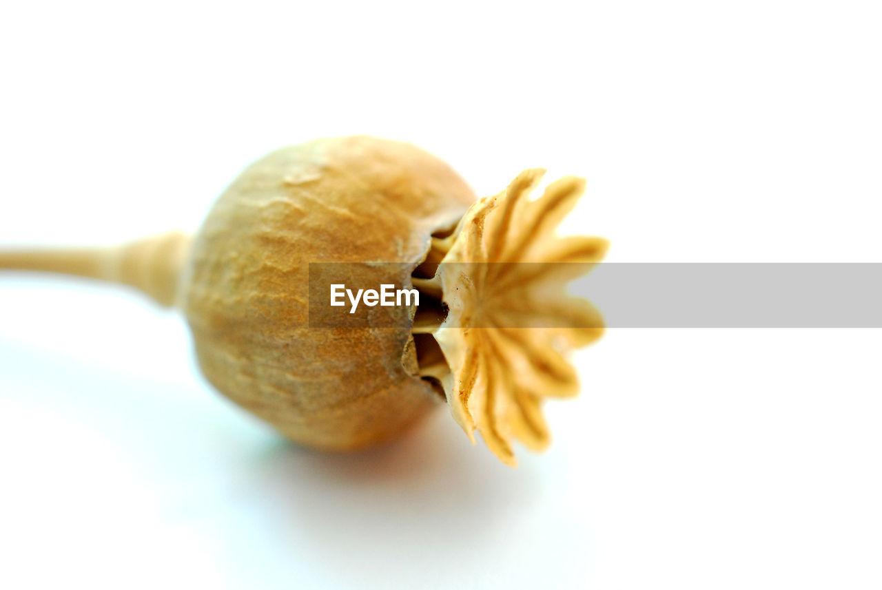 Close-up of opium poppy