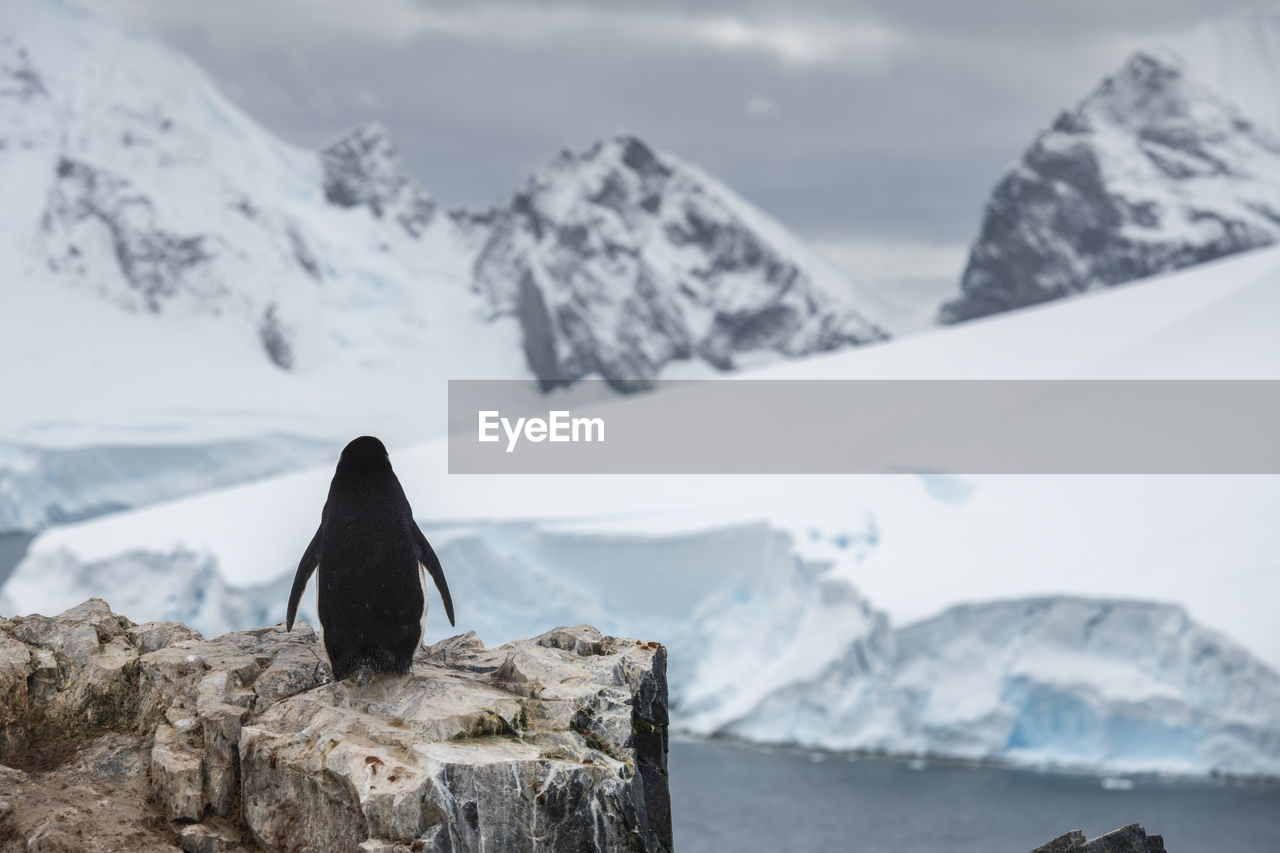 Rear View Of Penguin On Rock Against Snowcapped Mountains