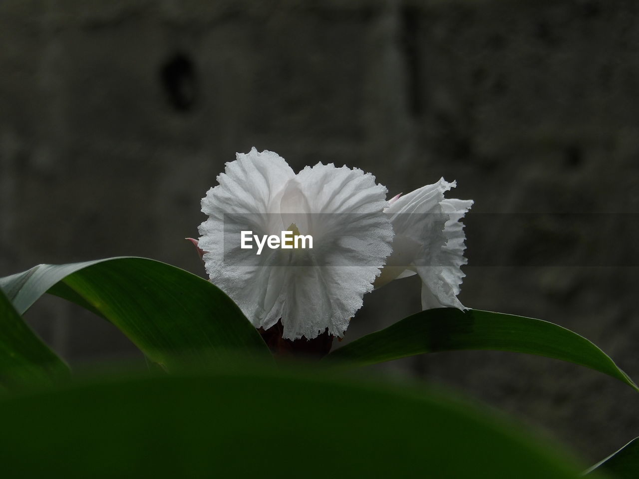 flower, white color, petal, fragility, beauty in nature, leaf, growth, nature, freshness, flower head, no people, close-up, day, blooming, plant, outdoors, periwinkle