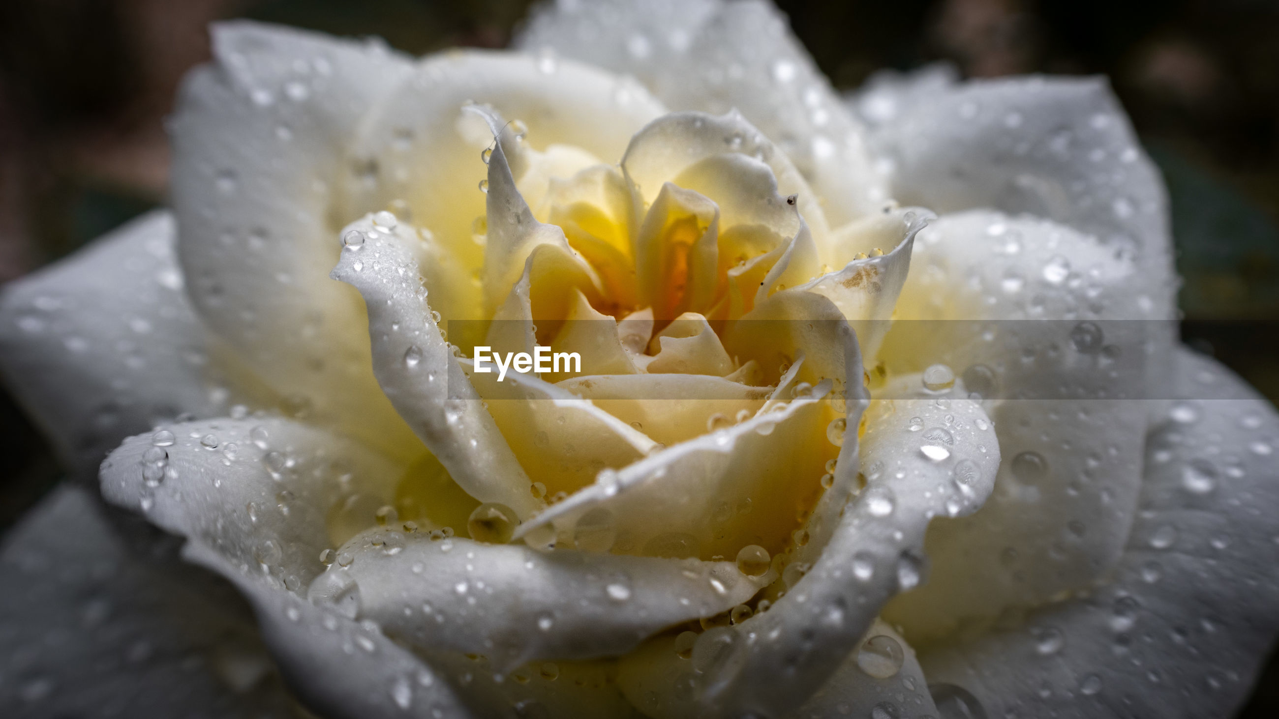 CLOSE-UP OF WATER DROPS ON ROSE