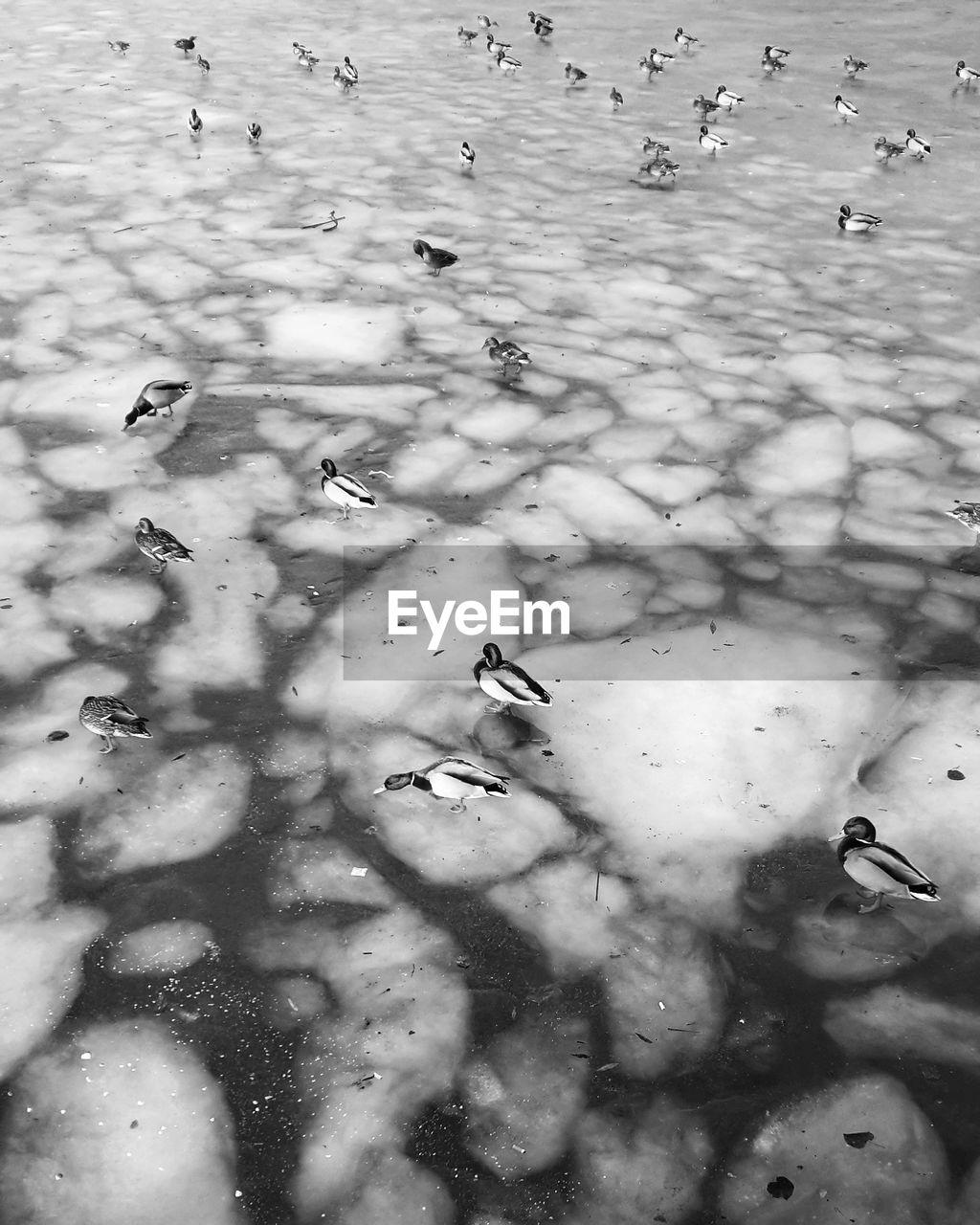 High Angle View Of Mallard Ducks Perching On Frozen Lake