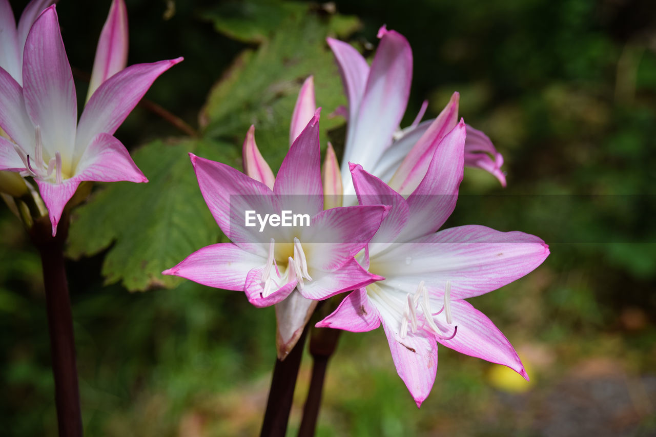 flower, petal, beauty in nature, pink color, nature, flower head, fragility, freshness, growth, focus on foreground, no people, close-up, outdoors, day, blooming, plant, lotus water lily, periwinkle