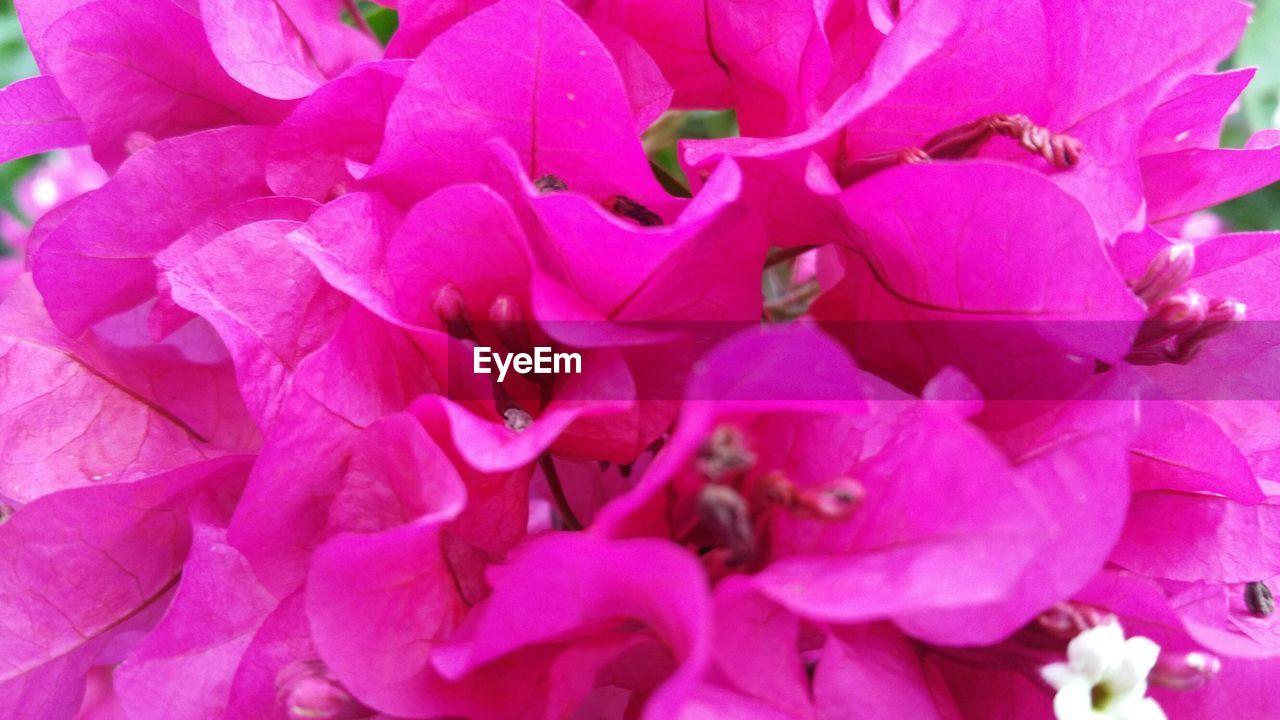 Full frame shot of pink bougainvillea
