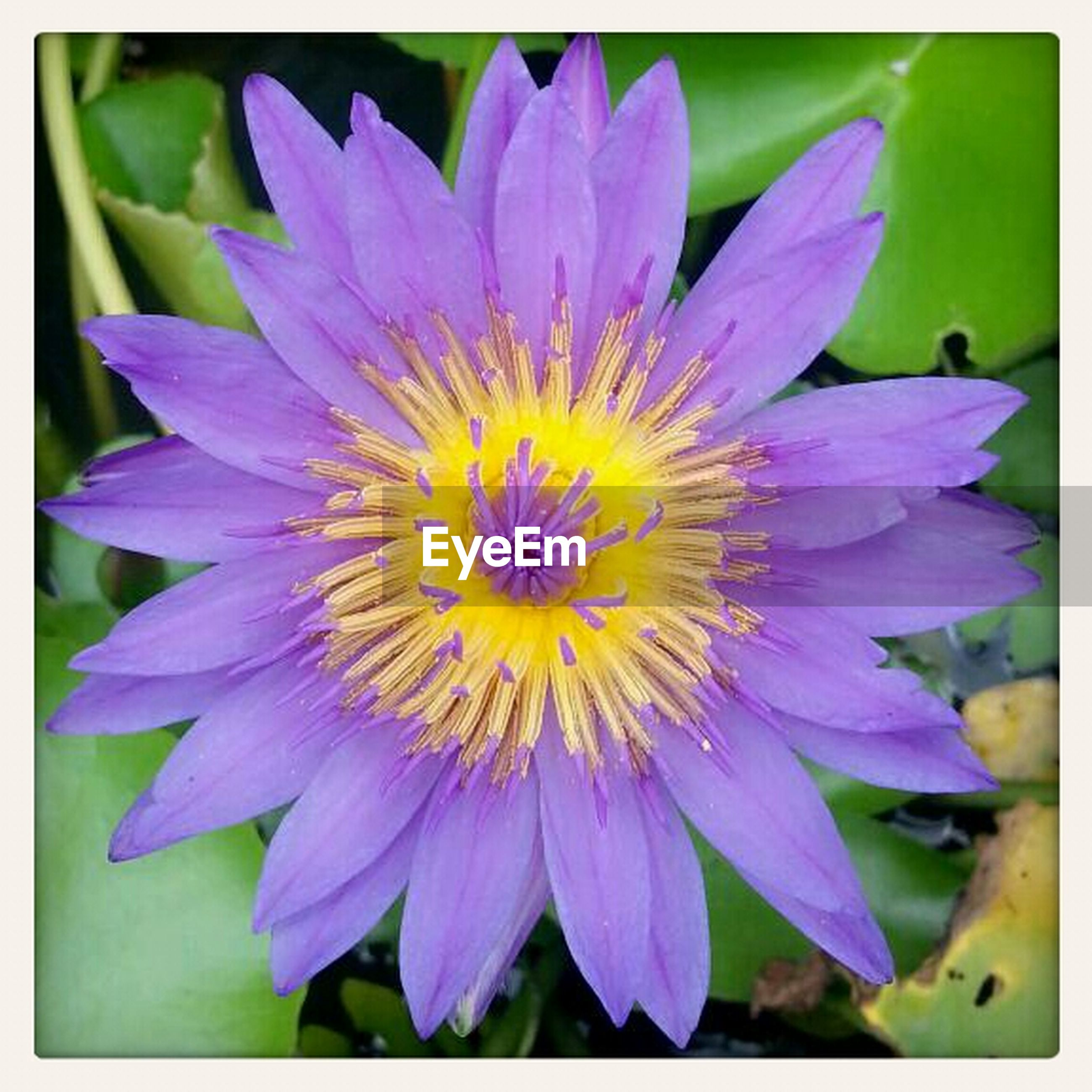flower, transfer print, petal, freshness, flower head, fragility, purple, auto post production filter, single flower, beauty in nature, growth, close-up, nature, pollen, blooming, plant, water lily, focus on foreground, in bloom, stamen