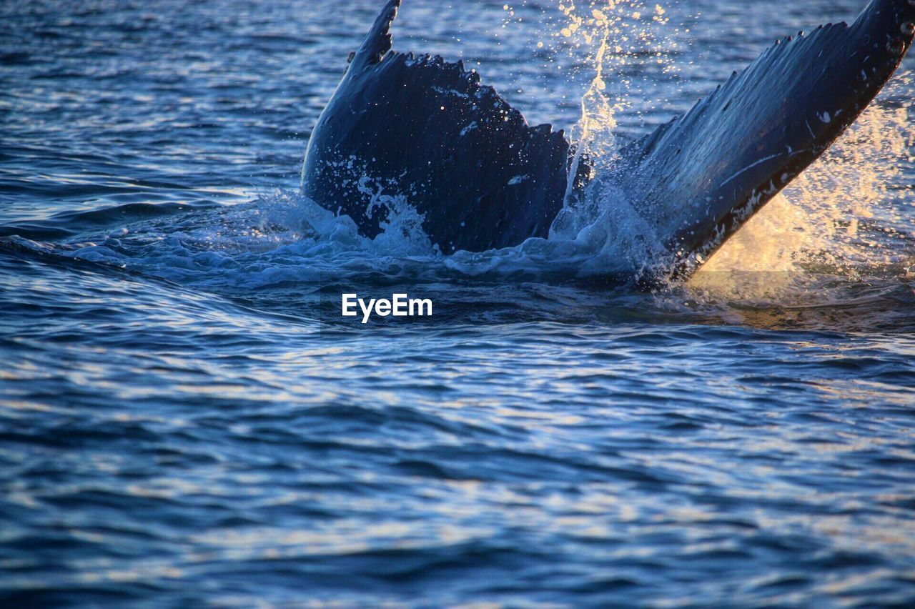 waterfront, no people, water, sea, animals in the wild, outdoors, nature, sea life, animal themes, day, whale, aquatic mammal, humpback whale, swimming, close-up, mammal