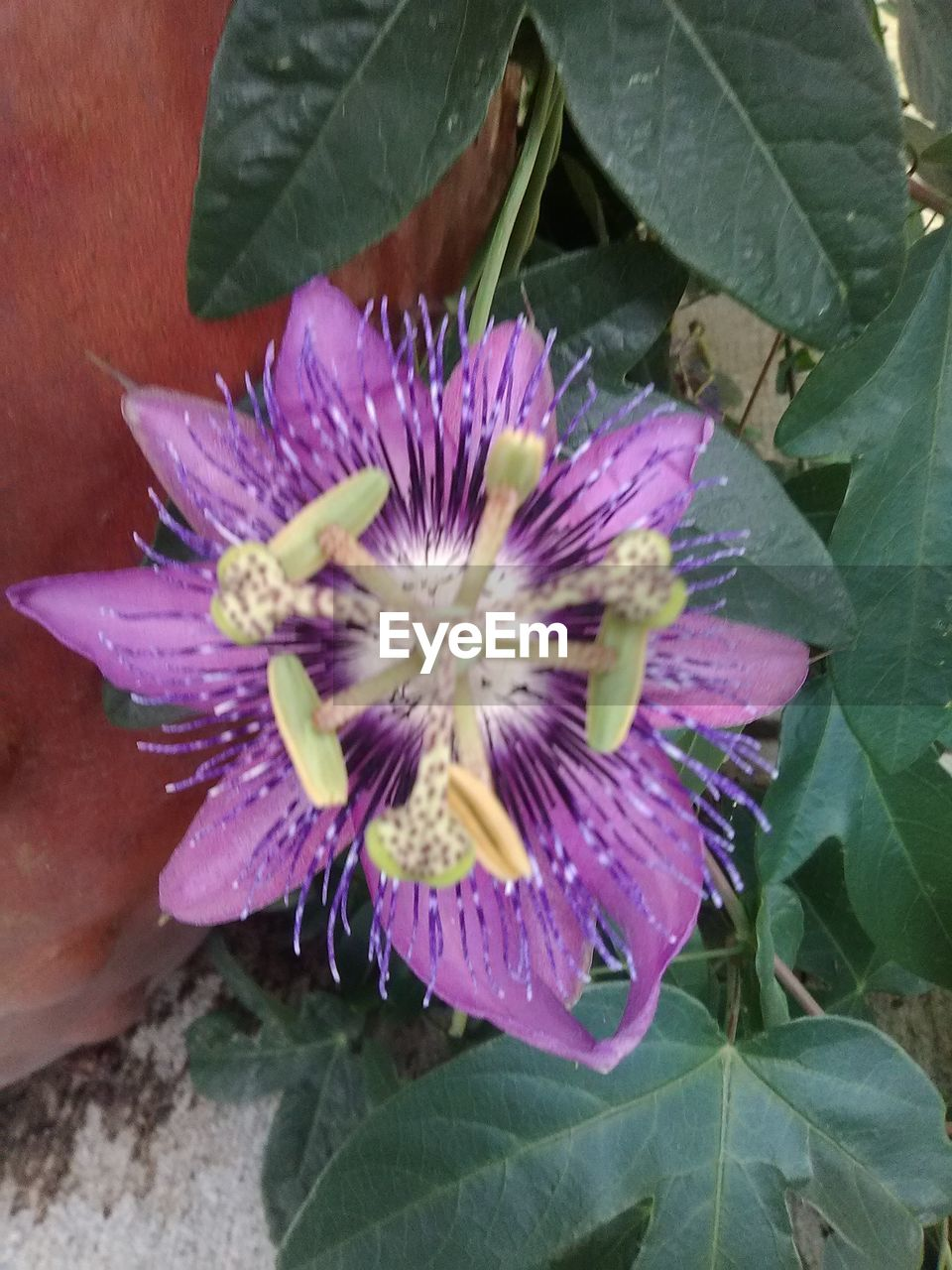 flower, leaf, petal, purple, plant, flower head, fragility, growth, beauty in nature, nature, freshness, no people, day, blooming, close-up, outdoors, passion flower, water