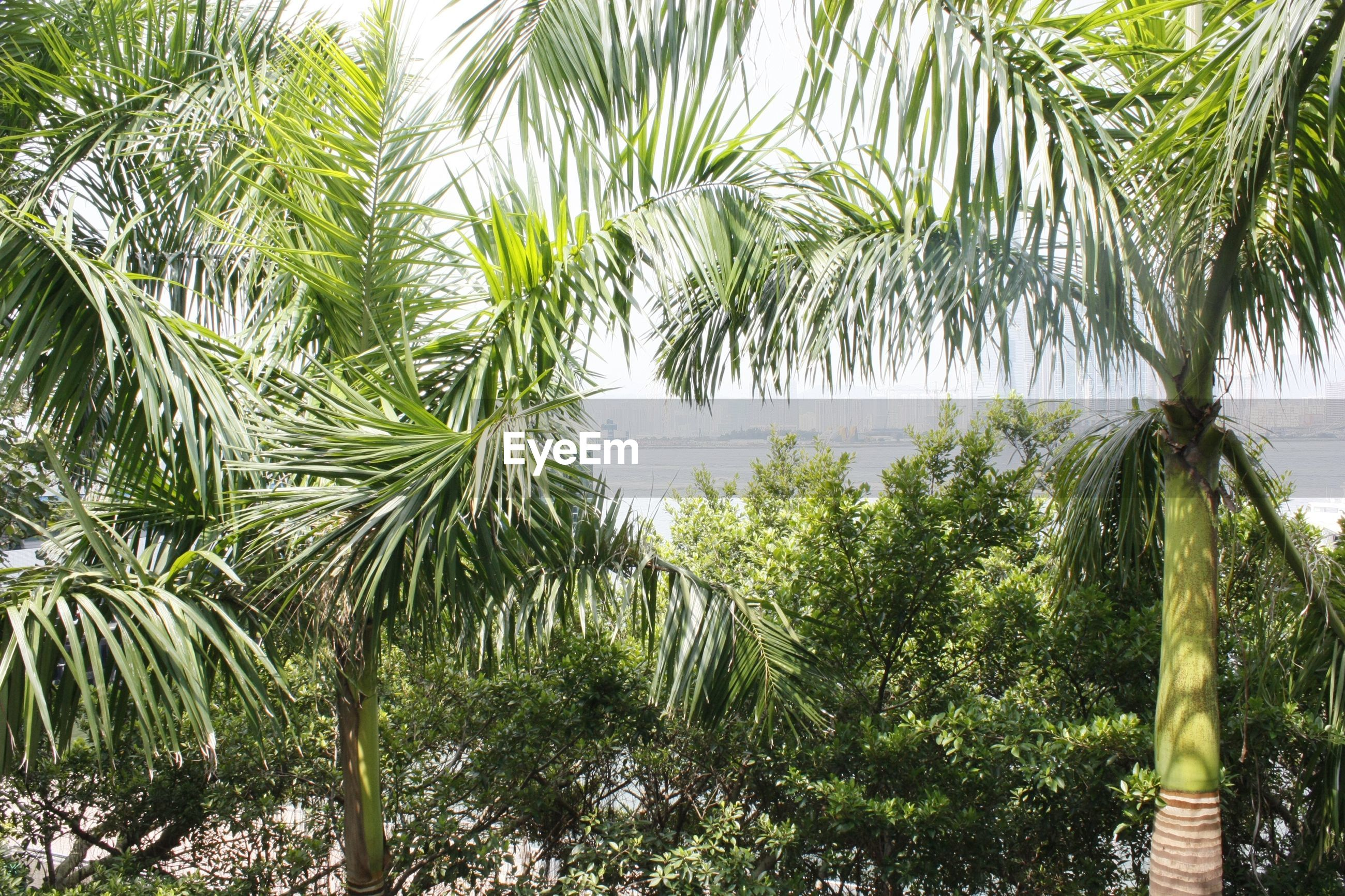 nature, green color, tree, palm tree, backgrounds, no people, beauty in nature, growth, water, outdoors, leaf, plant, sky, close-up, day, lush - description