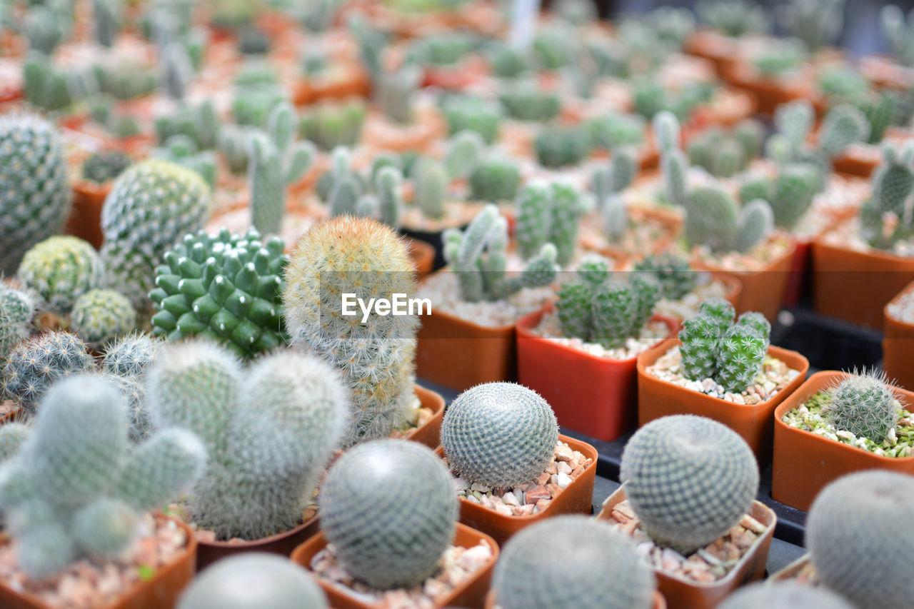 Close-Up Of Small Cacti