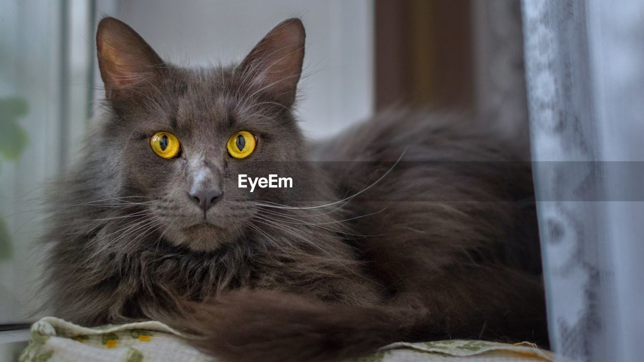 one animal, animal themes, animal, mammal, pets, cat, domestic cat, domestic, domestic animals, feline, no people, vertebrate, close-up, portrait, relaxation, looking at camera, indoors, focus on foreground, whisker, yellow eyes, animal head, animal eye