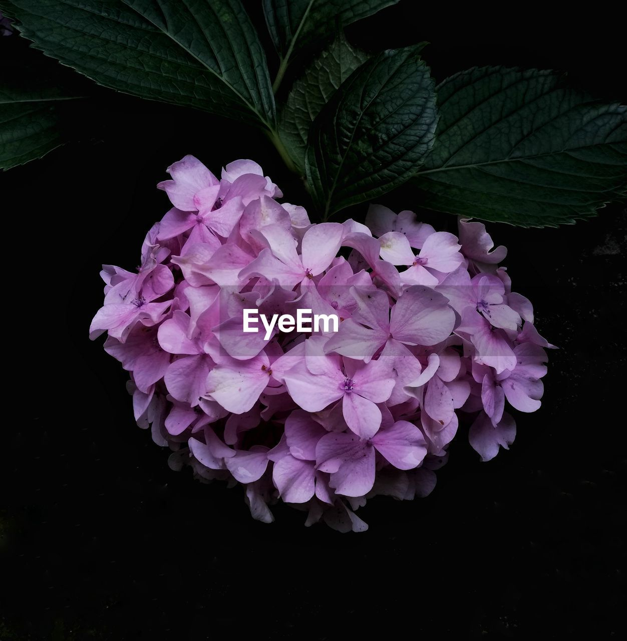 plant, flower, pink color, beauty in nature, freshness, flowering plant, petal, fragility, vulnerability, leaf, plant part, inflorescence, close-up, flower head, growth, nature, no people, purple, studio shot, outdoors, black background, bunch of flowers, lilac