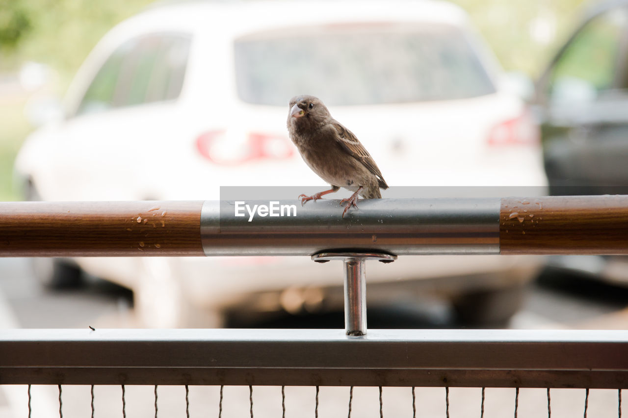 vertebrate, animal themes, animal, bird, animals in the wild, one animal, focus on foreground, animal wildlife, day, perching, mode of transportation, railing, metal, no people, sparrow, transportation, motor vehicle, car, outdoors, close-up, small