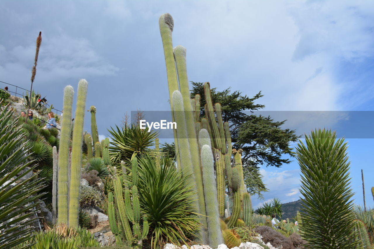 plant, sky, growth, low angle view, cactus, succulent plant, tree, no people, nature, day, saguaro cactus, cloud - sky, beauty in nature, tall - high, green color, outdoors, tranquility, sunlight, land, tropical climate, arid climate