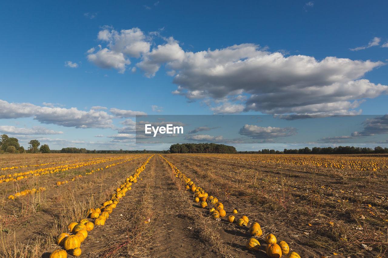 Pumpkins on land against sky