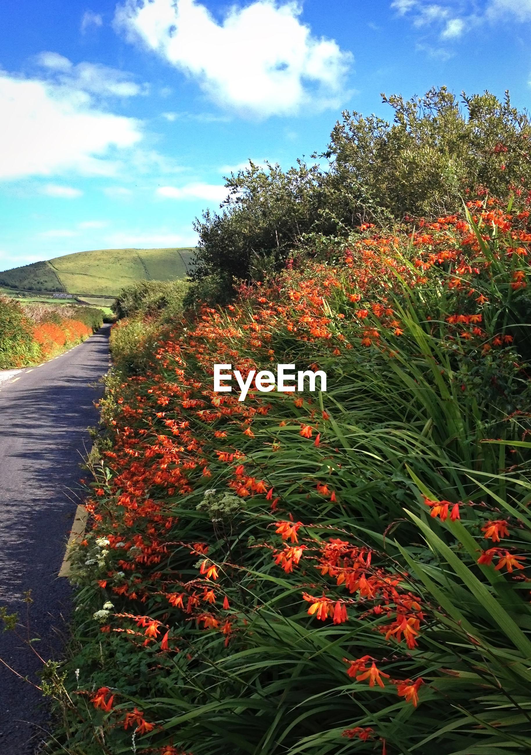 Orange flowers blooming on field by empty road