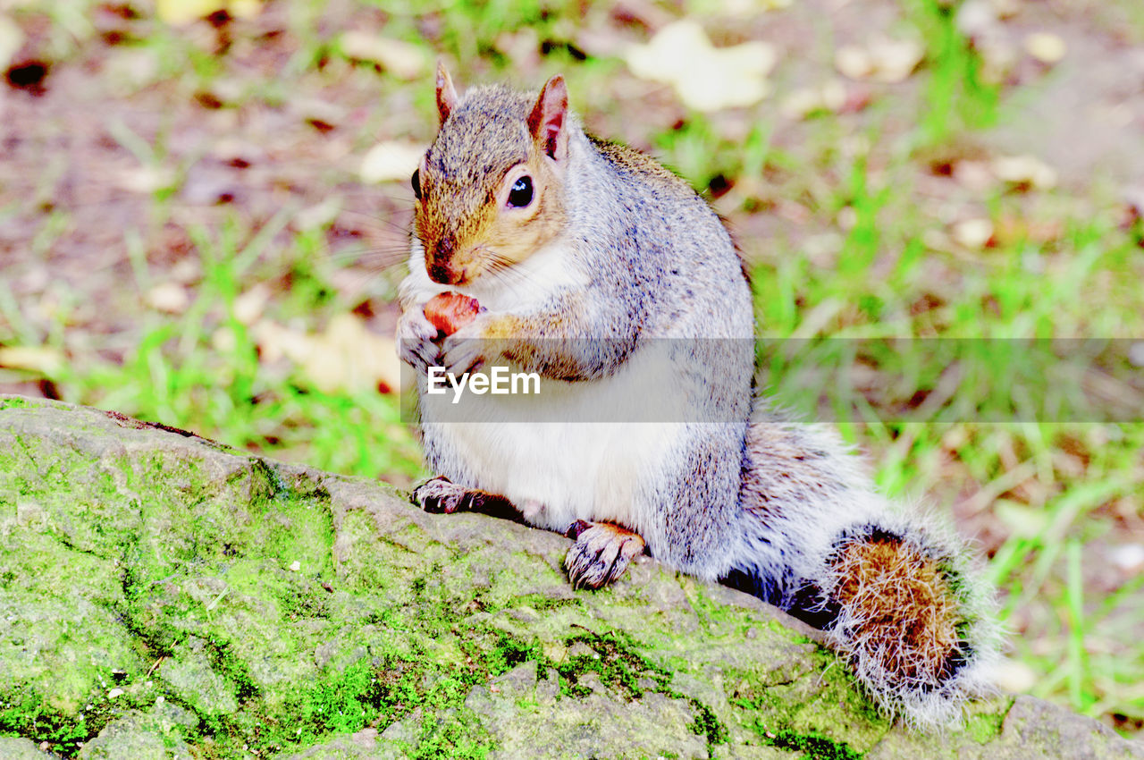 animal, animal themes, rodent, one animal, animal wildlife, animals in the wild, vertebrate, mammal, squirrel, eating, no people, land, field, close-up, nature, day, focus on foreground, food, food and drink, plant, whisker, mouth open