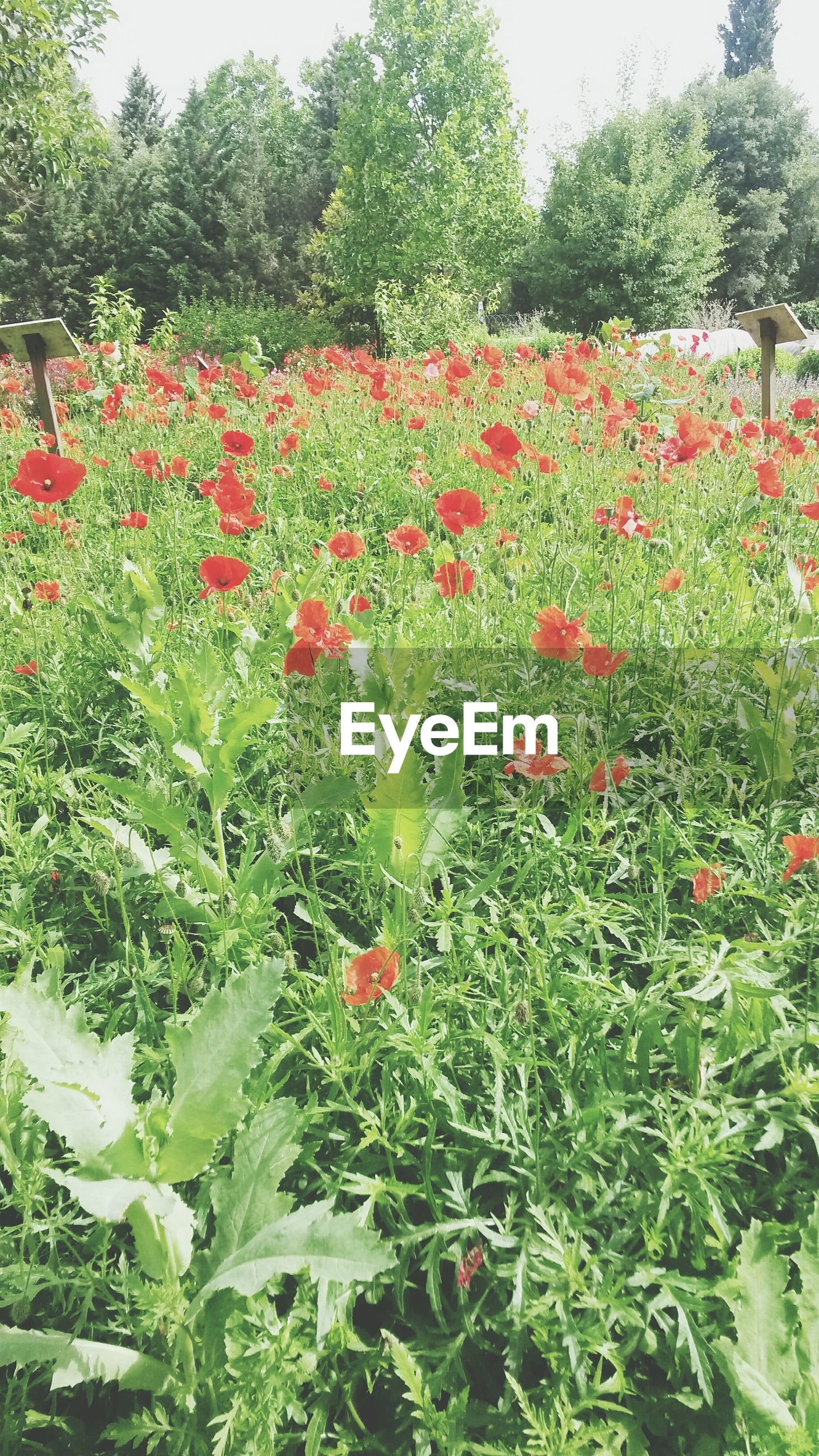 flower, growth, freshness, beauty in nature, plant, nature, red, fragility, blooming, tree, green color, field, petal, park - man made space, in bloom, tranquility, growing, sunlight, blossom, day