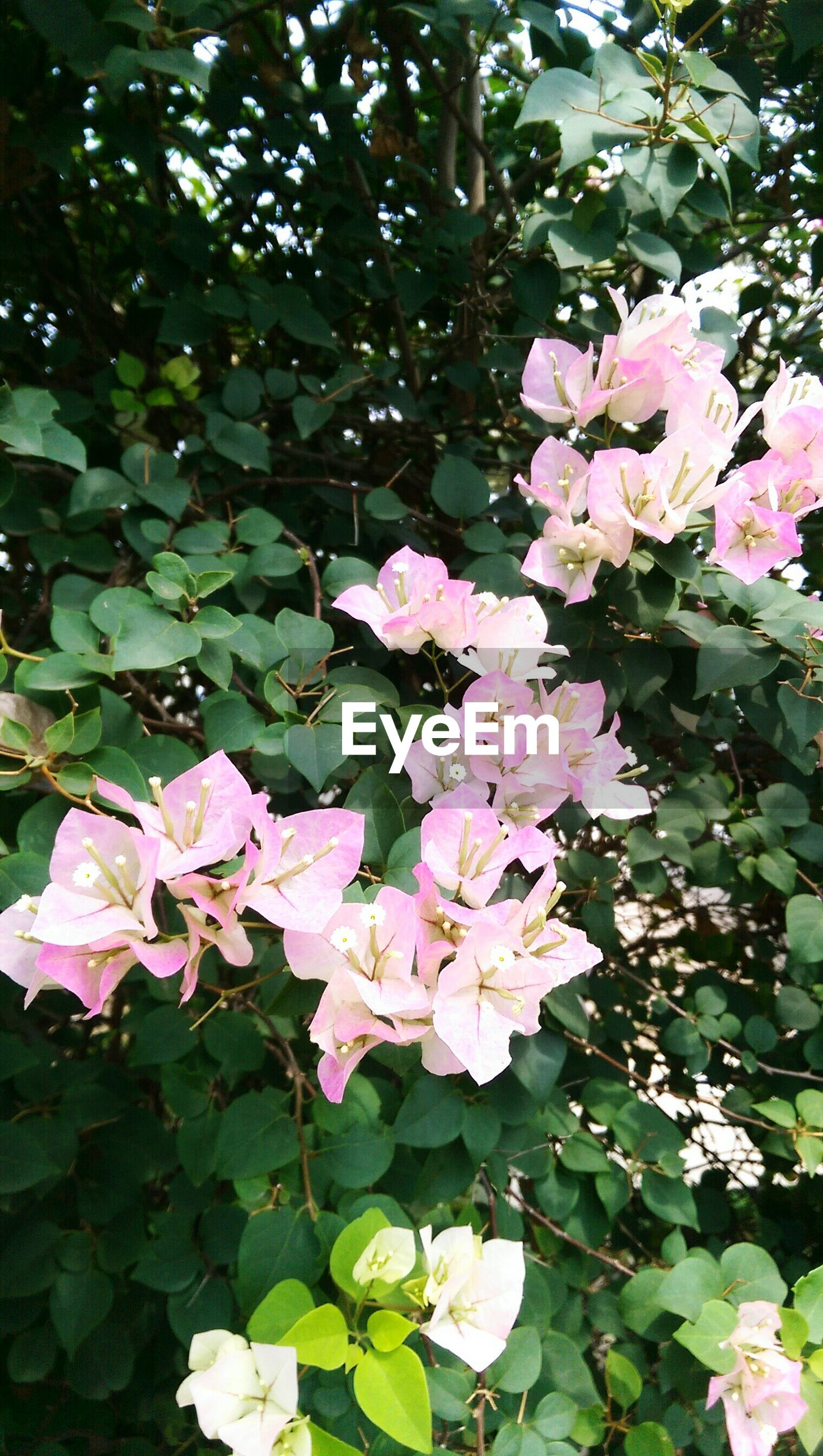 flower, freshness, petal, leaf, fragility, growth, beauty in nature, pink color, flower head, nature, blooming, plant, close-up, in bloom, green color, blossom, park - man made space, outdoors, day, no people