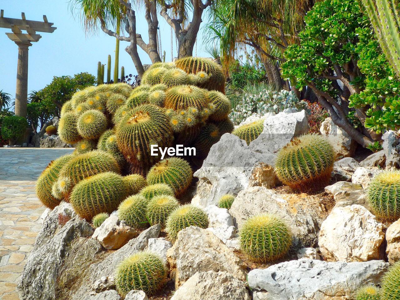 Close-up barrel cactus on rocks