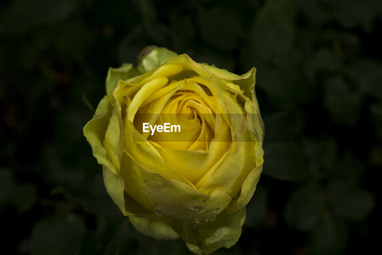 YELLOW ROSE BLOOMING OUTDOORS