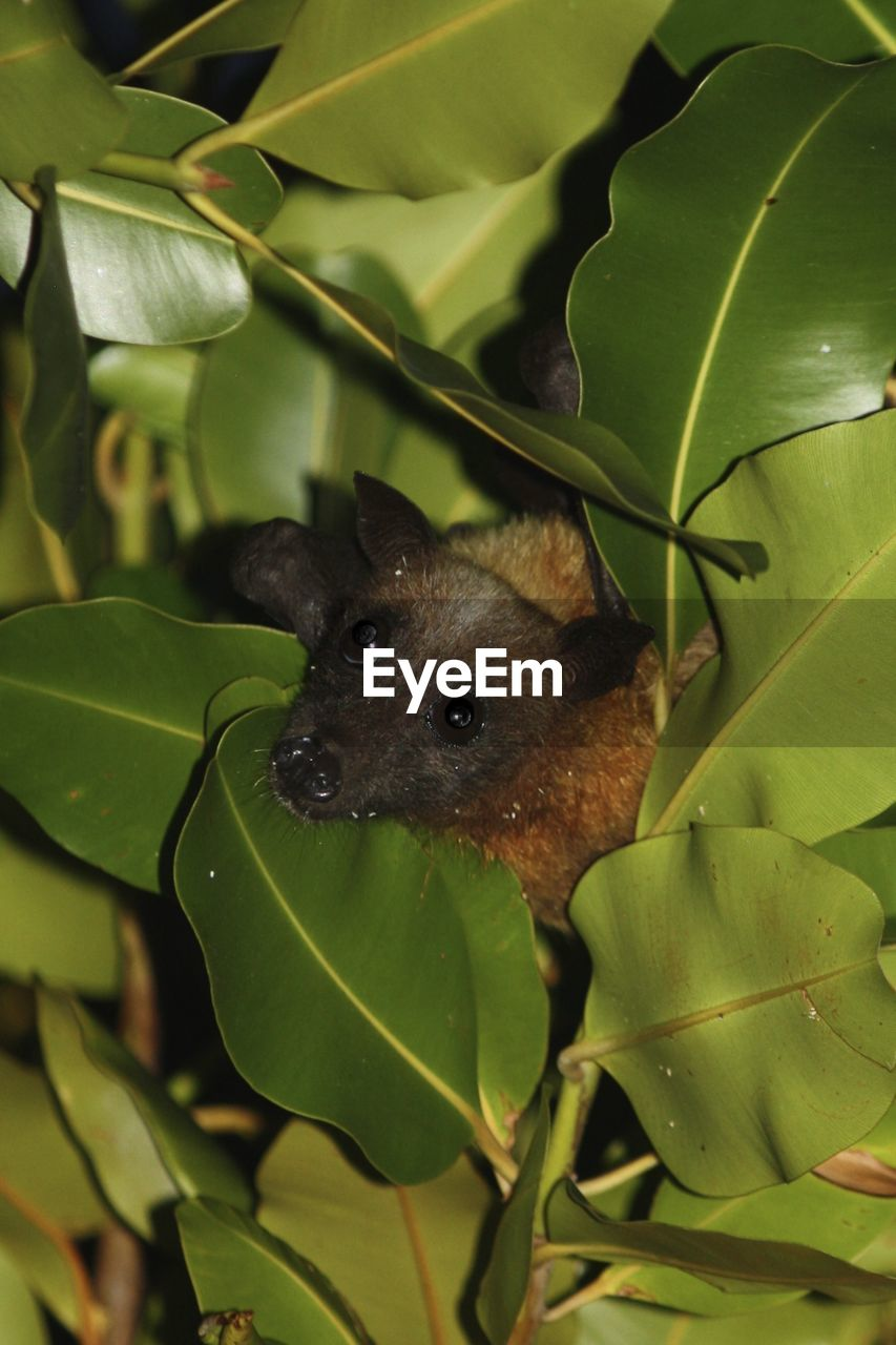 Little bat looking out from tree