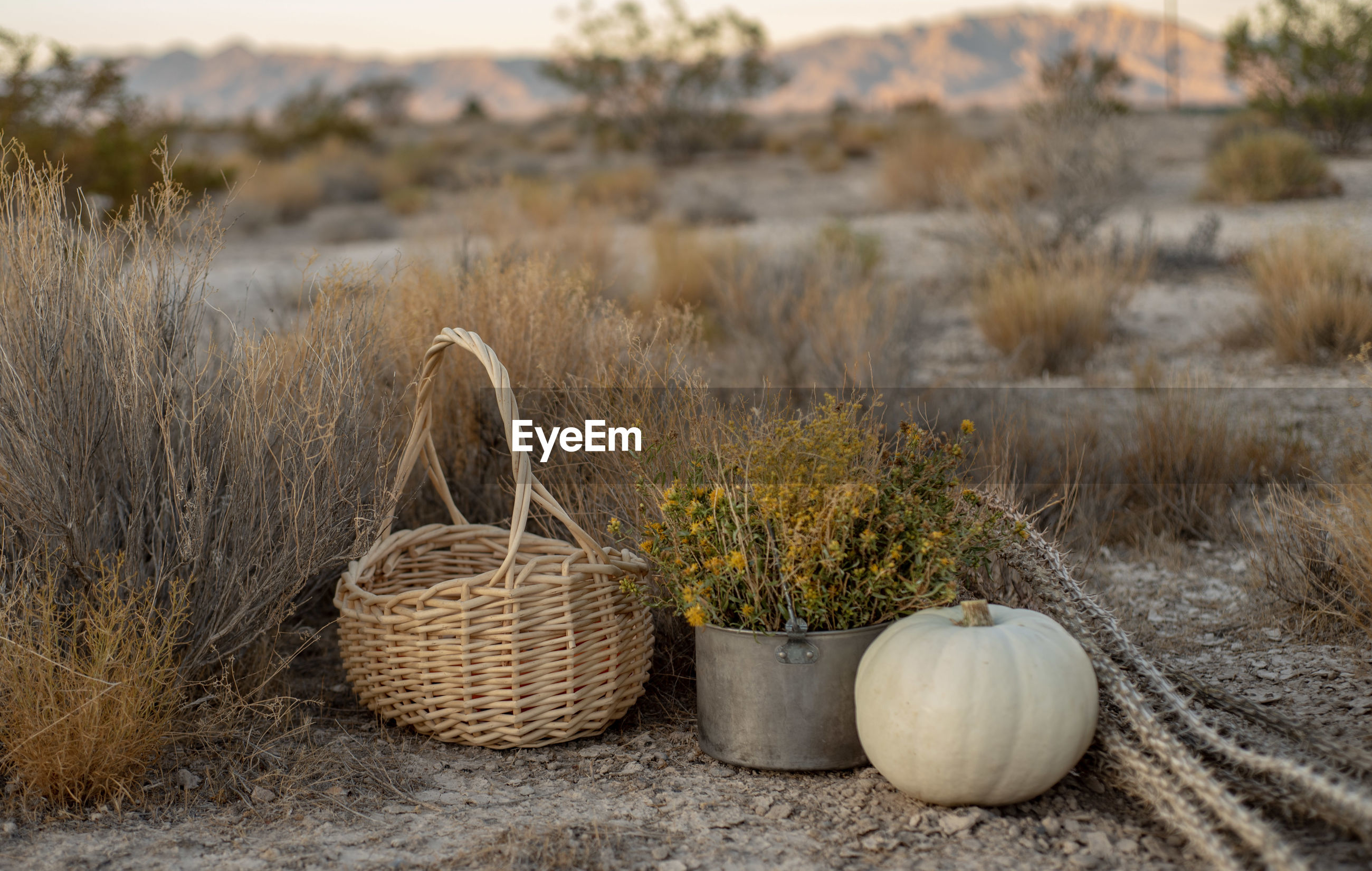 White pumpkin, wildflowers, dried cactus, basket in mojave desert autumn earth colors