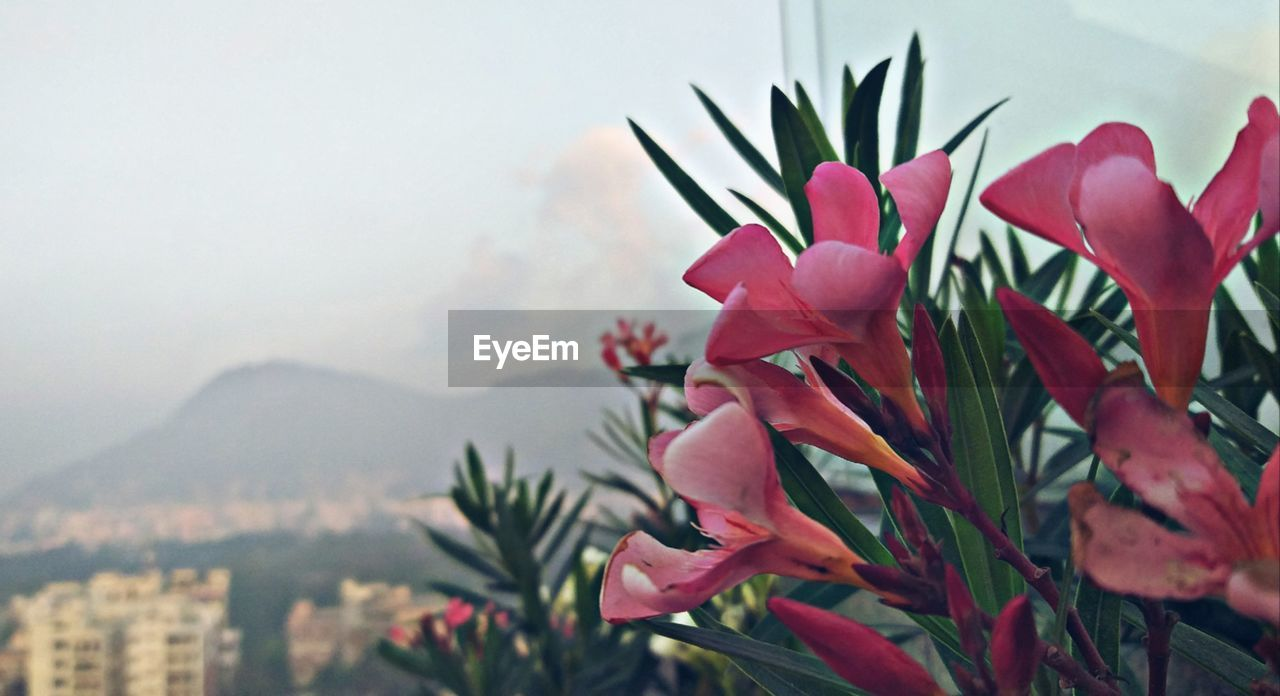 plant, flower, flowering plant, beauty in nature, freshness, growth, petal, nature, close-up, vulnerability, fragility, pink color, day, no people, inflorescence, flower head, mountain, outdoors, focus on foreground, sky