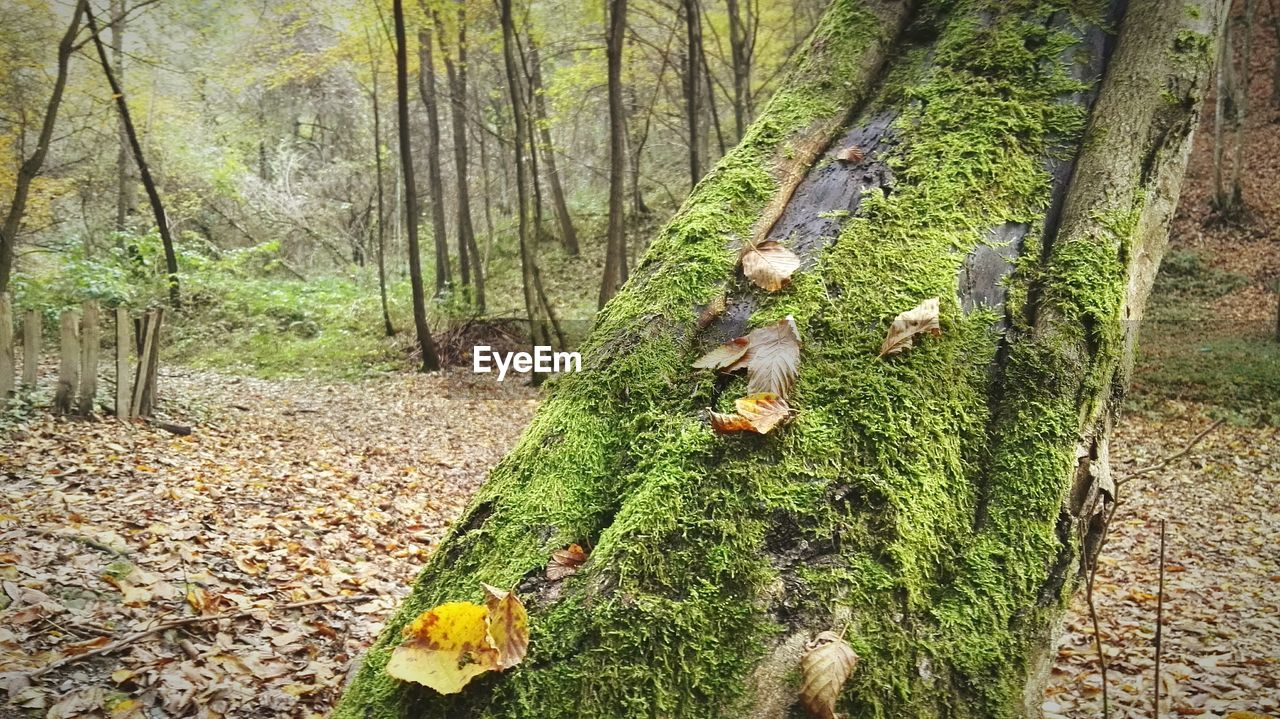 tree, plant, land, forest, tree trunk, trunk, nature, growth, day, plant part, leaf, one person, beauty in nature, autumn, green color, real people, woodland, tranquility, outdoors, change, leaves