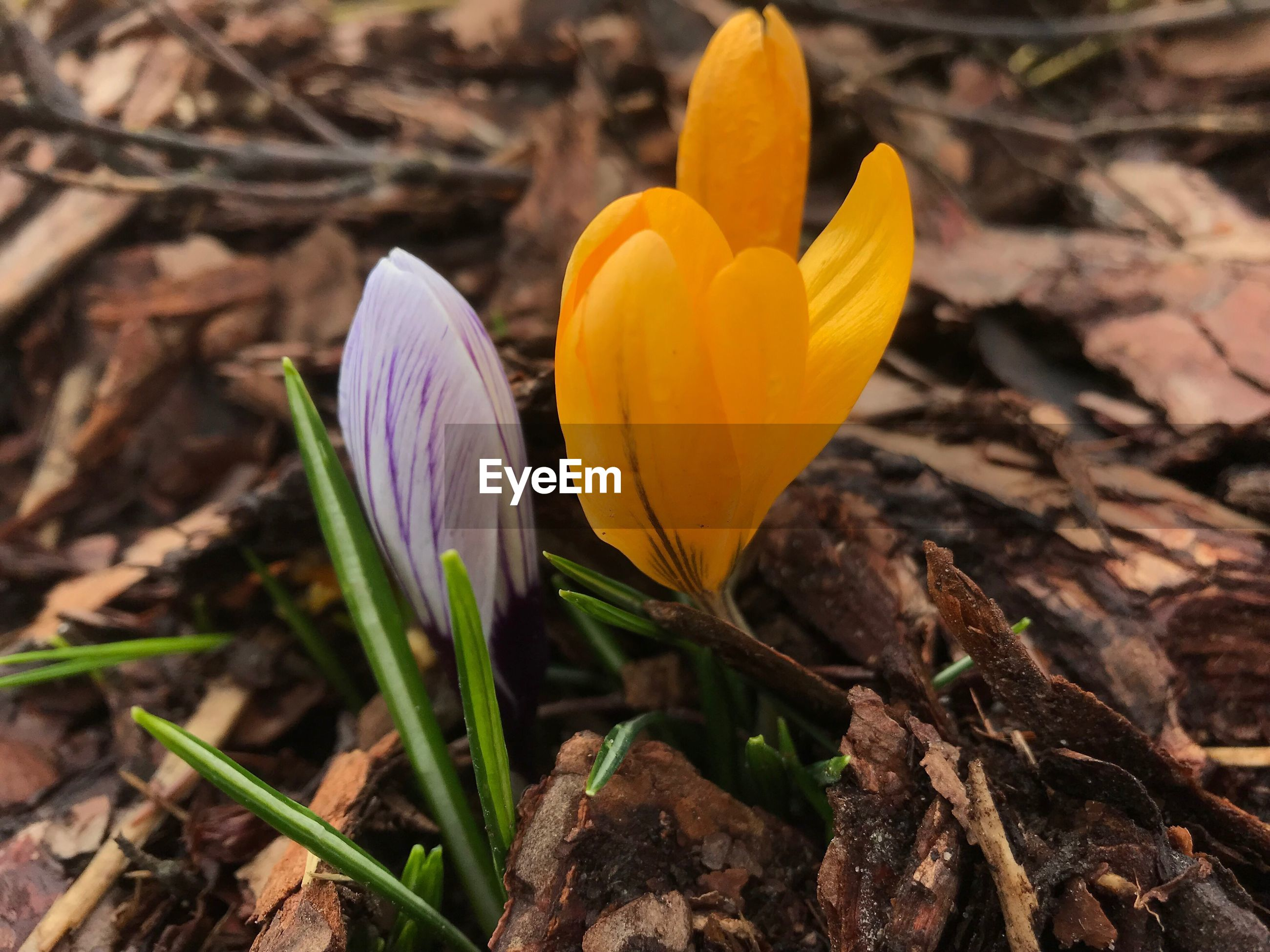 CLOSE-UP OF YELLOW CROCUS FLOWERS ON LAND