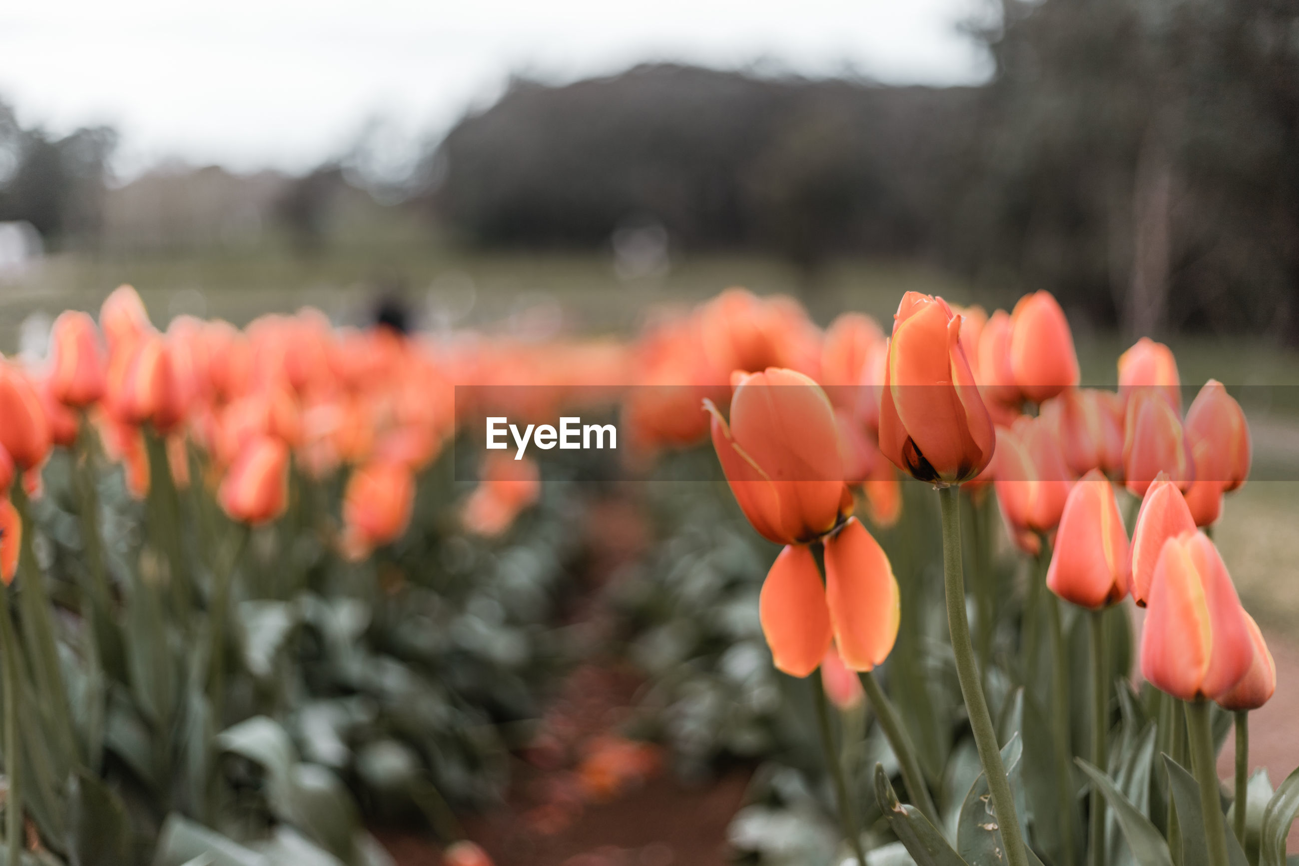 CLOSE-UP OF ORANGE FLOWERS ON FIELD