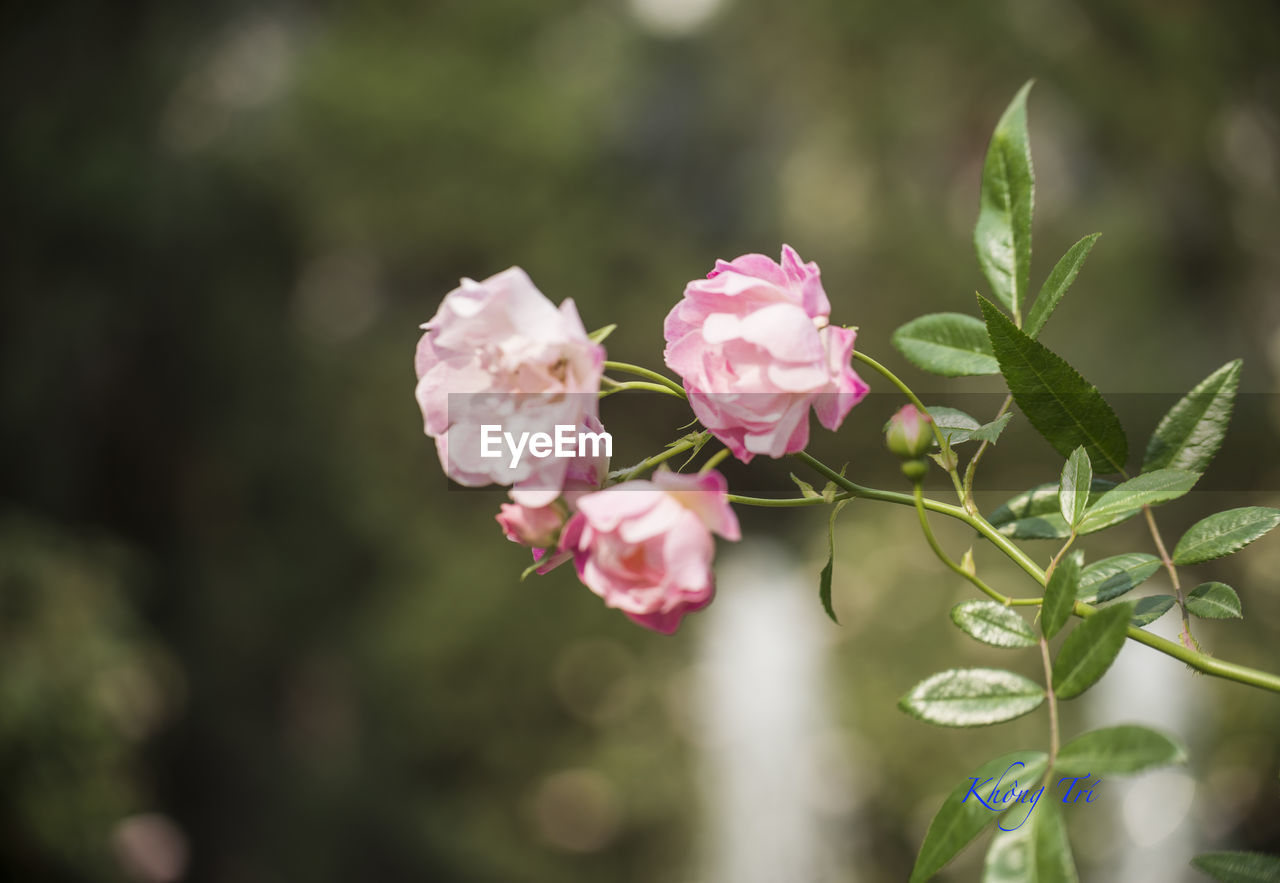 plant, flower, growth, beauty in nature, flowering plant, freshness, pink color, plant part, leaf, fragility, vulnerability, close-up, petal, nature, inflorescence, flower head, day, no people, focus on foreground, rose, outdoors
