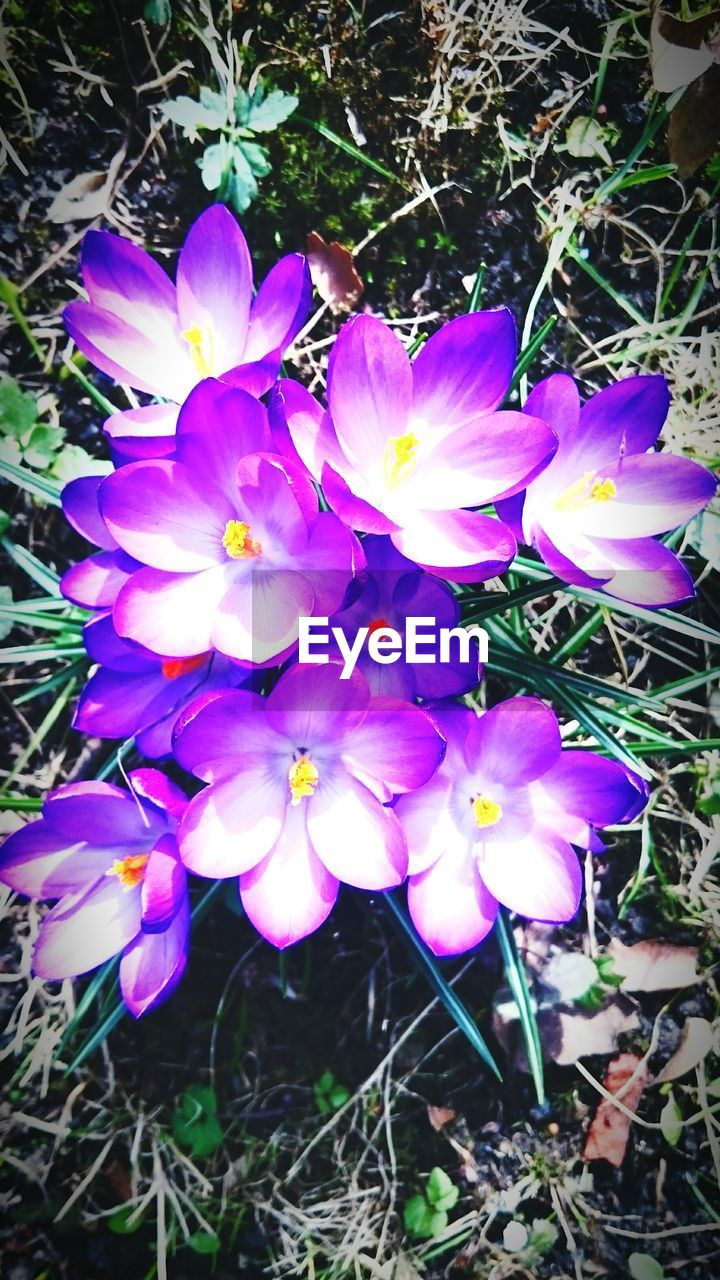 flower, growth, petal, nature, fragility, plant, beauty in nature, high angle view, purple, outdoors, freshness, flower head, field, blooming, day, no people, close-up, crocus, grass