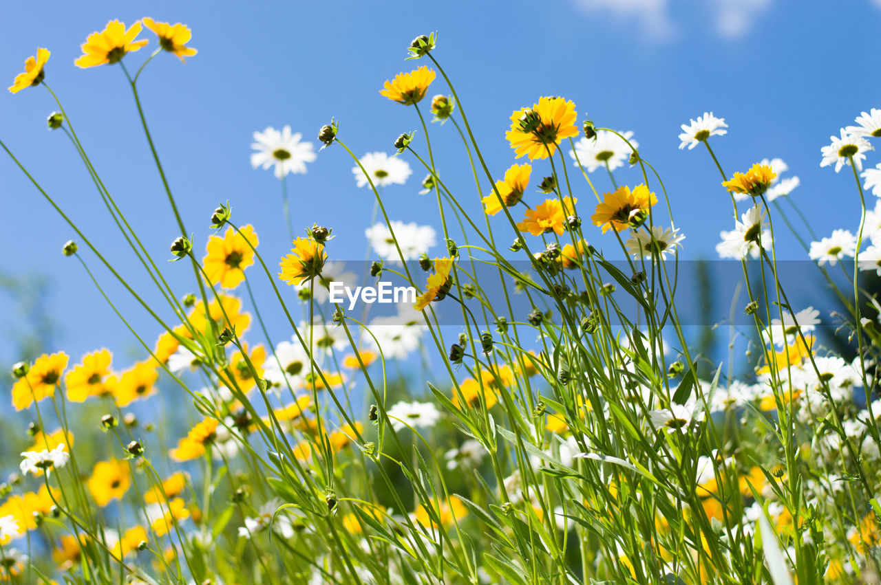 CLOSE-UP OF YELLOW FLOWERS BLOOMING IN FIELD AGAINST CLEAR SKY