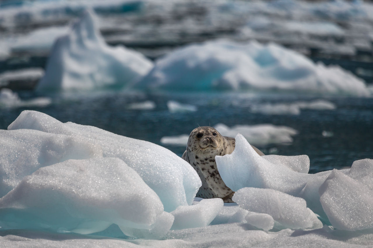 Close-Up Of Sea Lion In Frozen Sea During Winter
