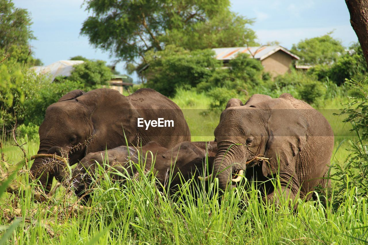 mammal, grass, no people, nature, elephant, animal themes, outdoors, landscape, day, growth, tree, sky