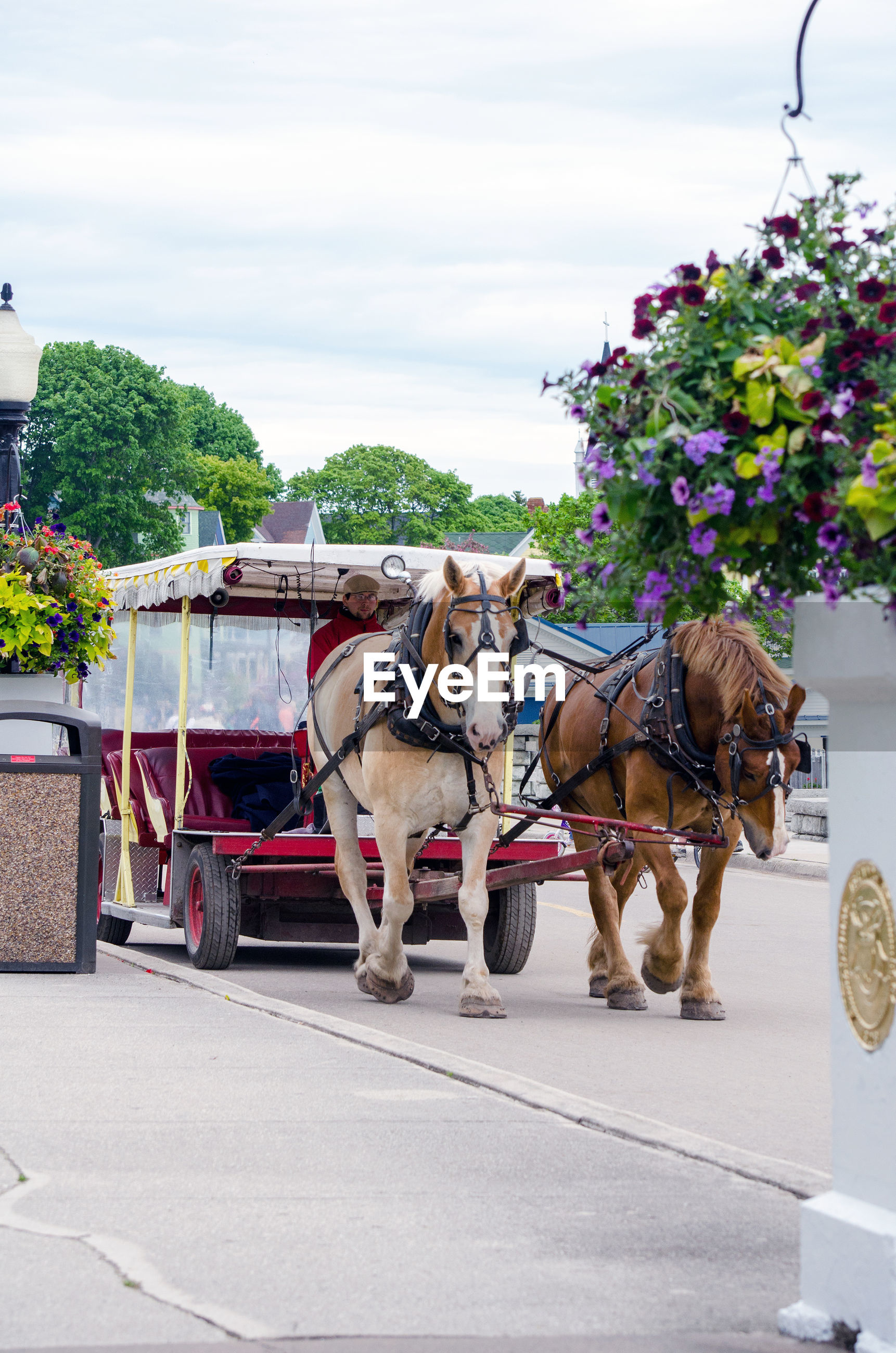 Tourists ride in a horse drawn buggy on mackinac island  in michigan usa