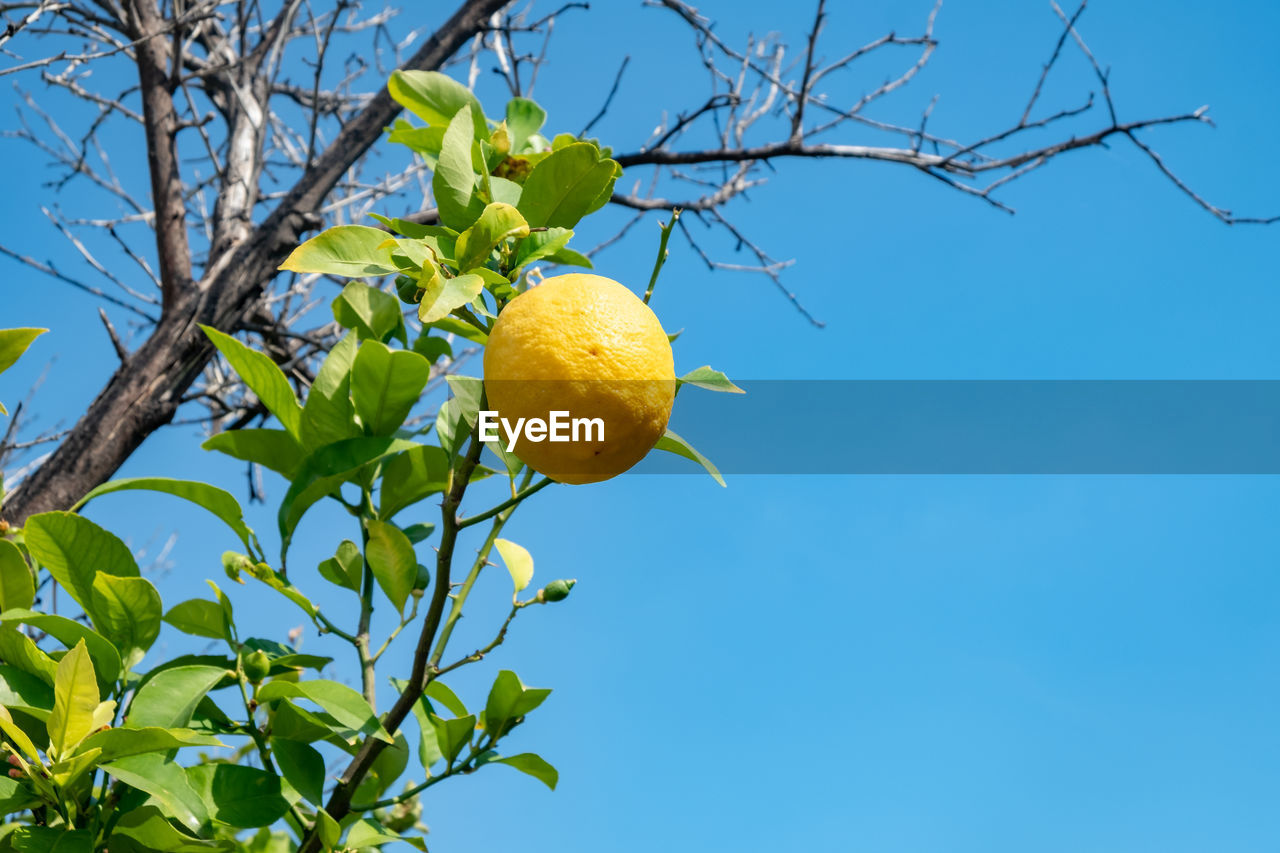 plant, tree, low angle view, sky, yellow, freshness, nature, growth, no people, branch, fruit tree, healthy eating, fruit, plant part, citrus fruit, leaf, food, blue, food and drink, day, outdoors, orange