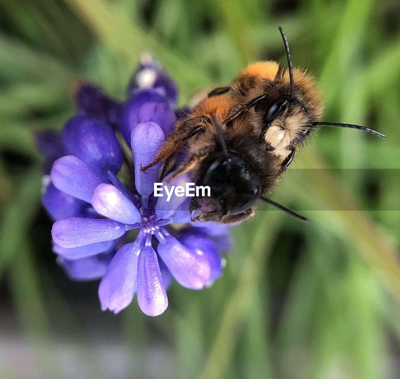 flower, flowering plant, animal themes, invertebrate, one animal, insect, animal, plant, fragility, vulnerability, animals in the wild, animal wildlife, flower head, freshness, petal, beauty in nature, growth, close-up, bee, focus on foreground, pollination, no people, purple, bumblebee, animal wing