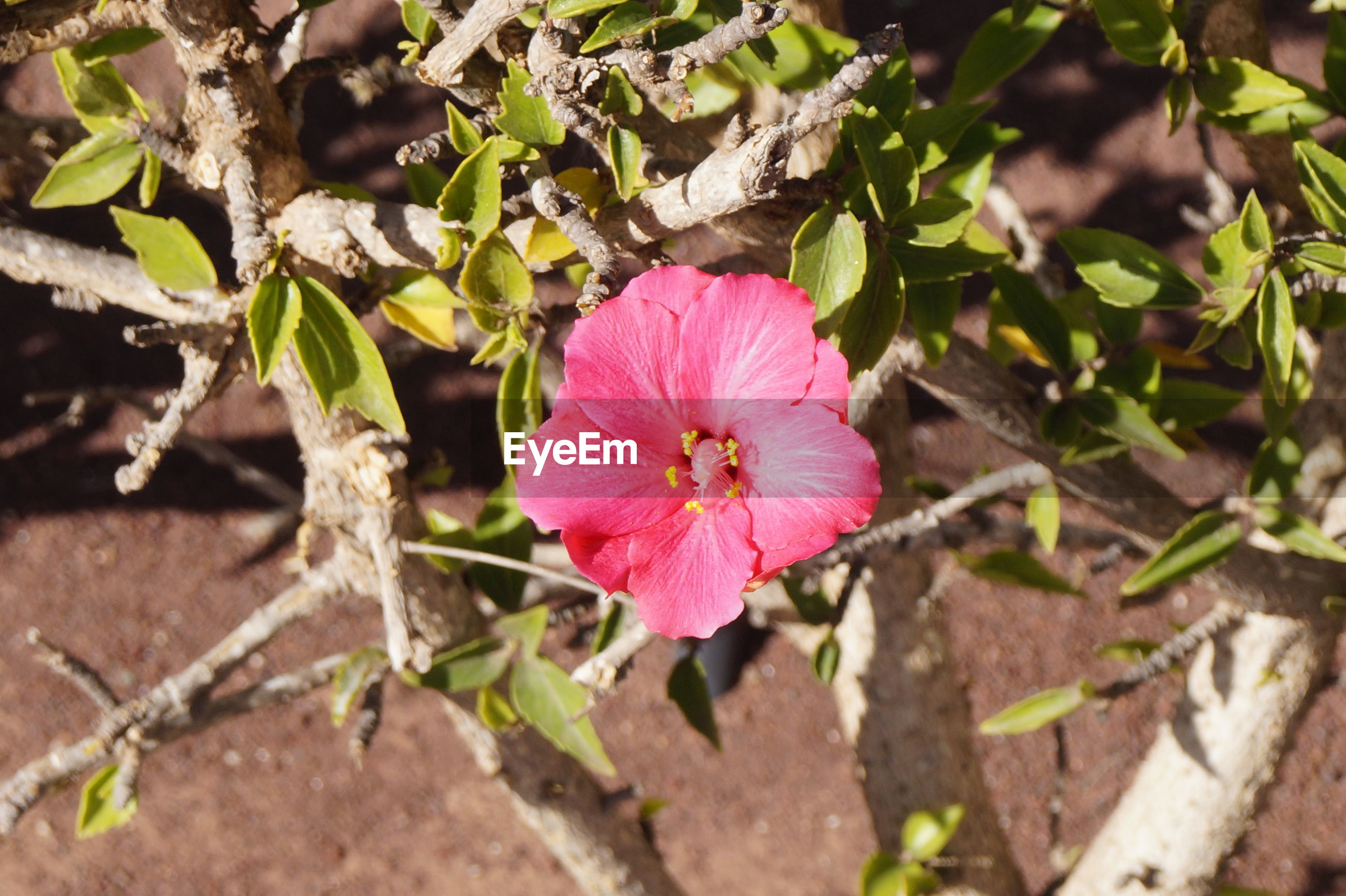 flower, petal, plant, fragility, flower head, growth, nature, beauty in nature, high angle view, outdoors, pink color, day, close-up, freshness, blooming, no people, leaf, petunia, hibiscus, periwinkle