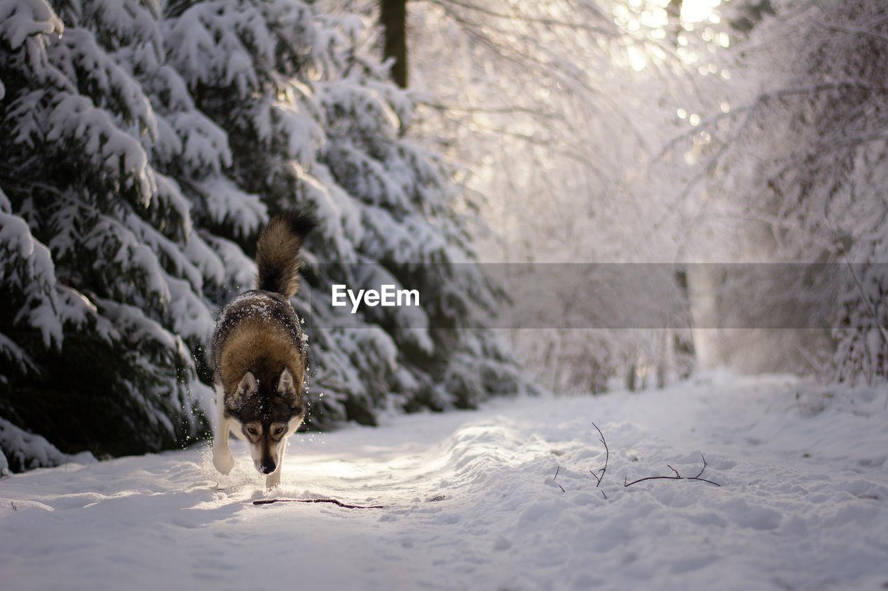 Siberian Husky Walking On Snowy Field Amidst Trees