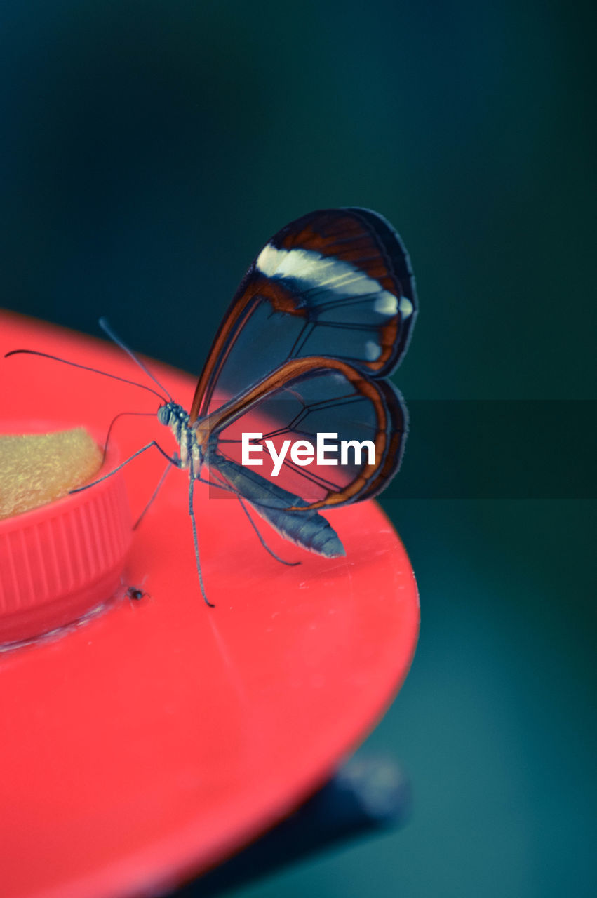 close-up, red, no people, animal wildlife, one animal, animal themes, animal, indoors, animals in the wild, invertebrate, blue, still life, table, studio shot, insect, nature, focus on foreground, selective focus, colored background, animal wing, blue background