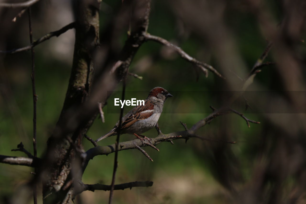 bird, animal themes, vertebrate, animal, perching, animal wildlife, animals in the wild, one animal, tree, plant, branch, no people, day, nature, outdoors, selective focus, focus on foreground, songbird, side view, beauty in nature