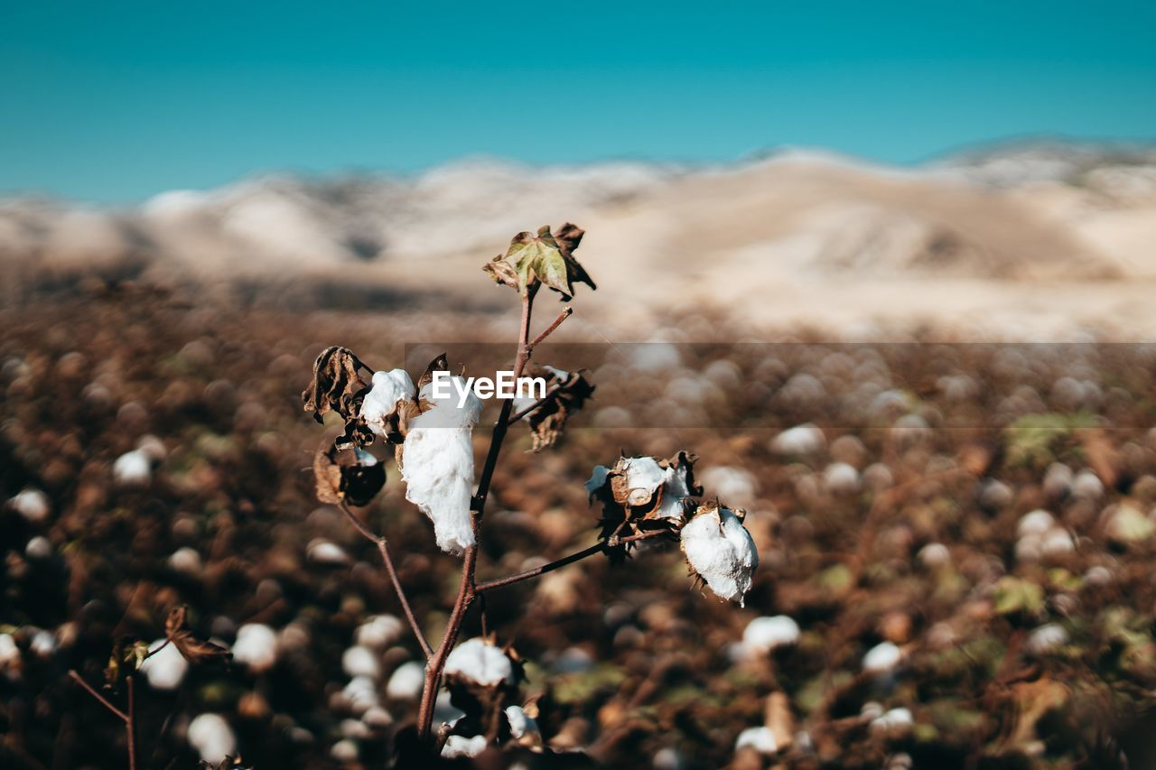 plant, dry, beauty in nature, flower, focus on foreground, nature, flowering plant, day, land, no people, close-up, fragility, vulnerability, growth, field, cotton plant, plant stem, cotton, tranquility, white color, outdoors, wilted plant, dead plant, flower head, softness, dried
