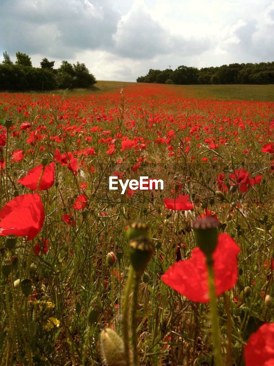 red, growth, field, nature, beauty in nature, flower, poppy, plant, tranquility, sky, no people, landscape, rural scene, tranquil scene, outdoors, agriculture, scenics, fragility, petal, day, blooming, freshness, grass, tree, flower head