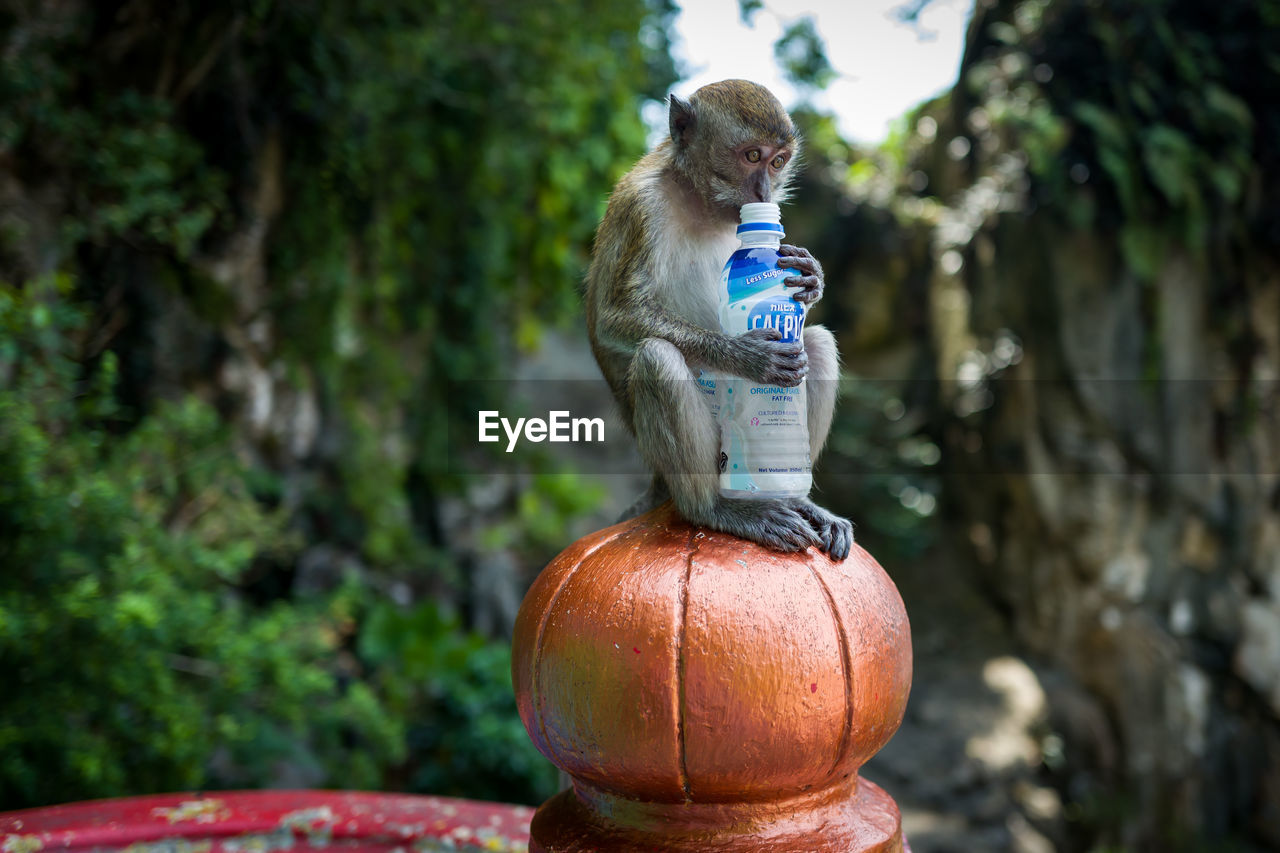 mammal, focus on foreground, animal themes, animal, one animal, no people, day, plant, vertebrate, tree, nature, primate, monkey, animal wildlife, animals in the wild, food and drink, outdoors, wood - material, close-up, art and craft, whisker