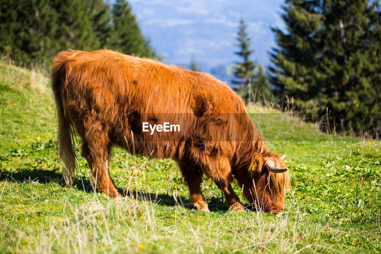 mammal, animal themes, animal, plant, grass, land, vertebrate, domestic animals, livestock, field, domestic, pets, one animal, nature, green color, animal wildlife, highland cattle, cattle, horned, grazing, no people, outdoors, herbivorous
