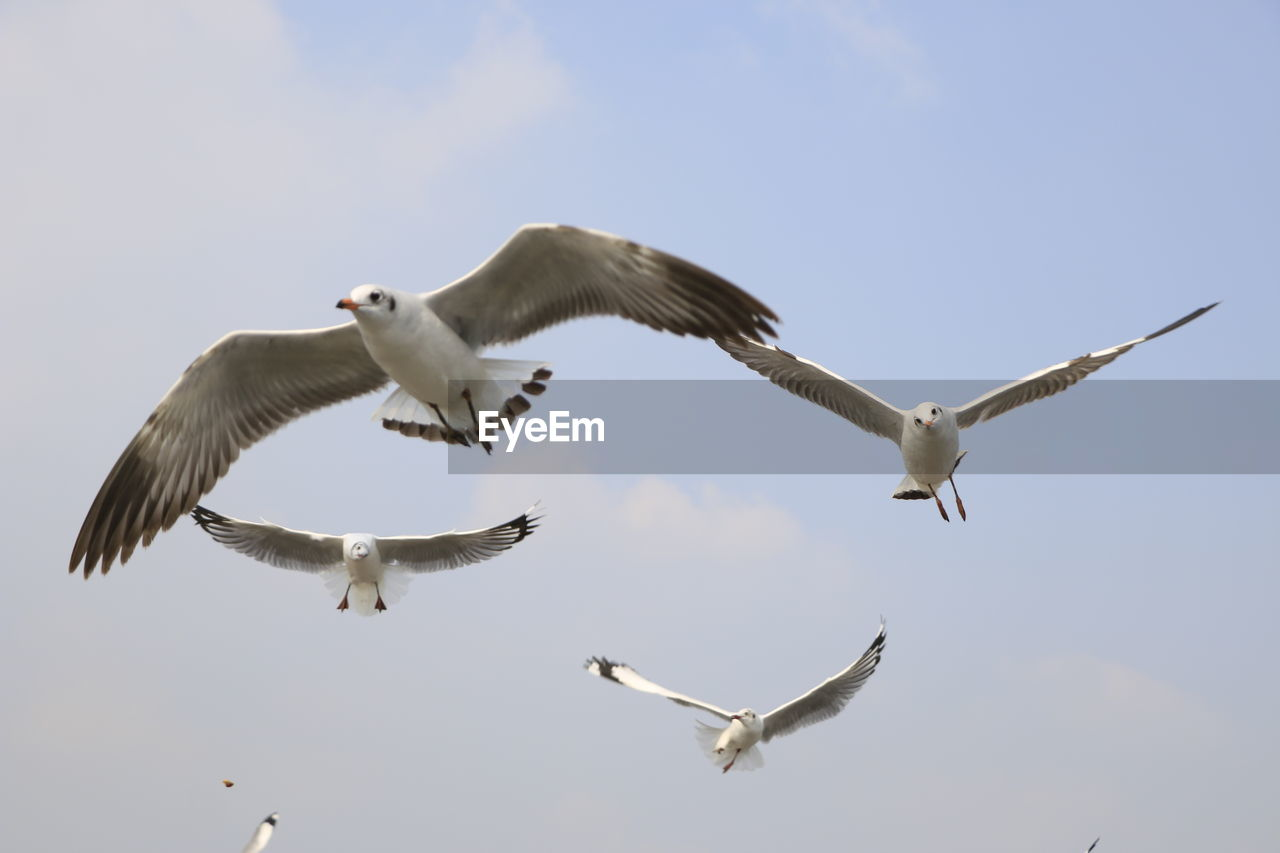 flying, bird, spread wings, animal themes, animal wildlife, animals in the wild, animal, vertebrate, group of animals, sky, mid-air, low angle view, nature, no people, motion, seagull, day, two animals, outdoors